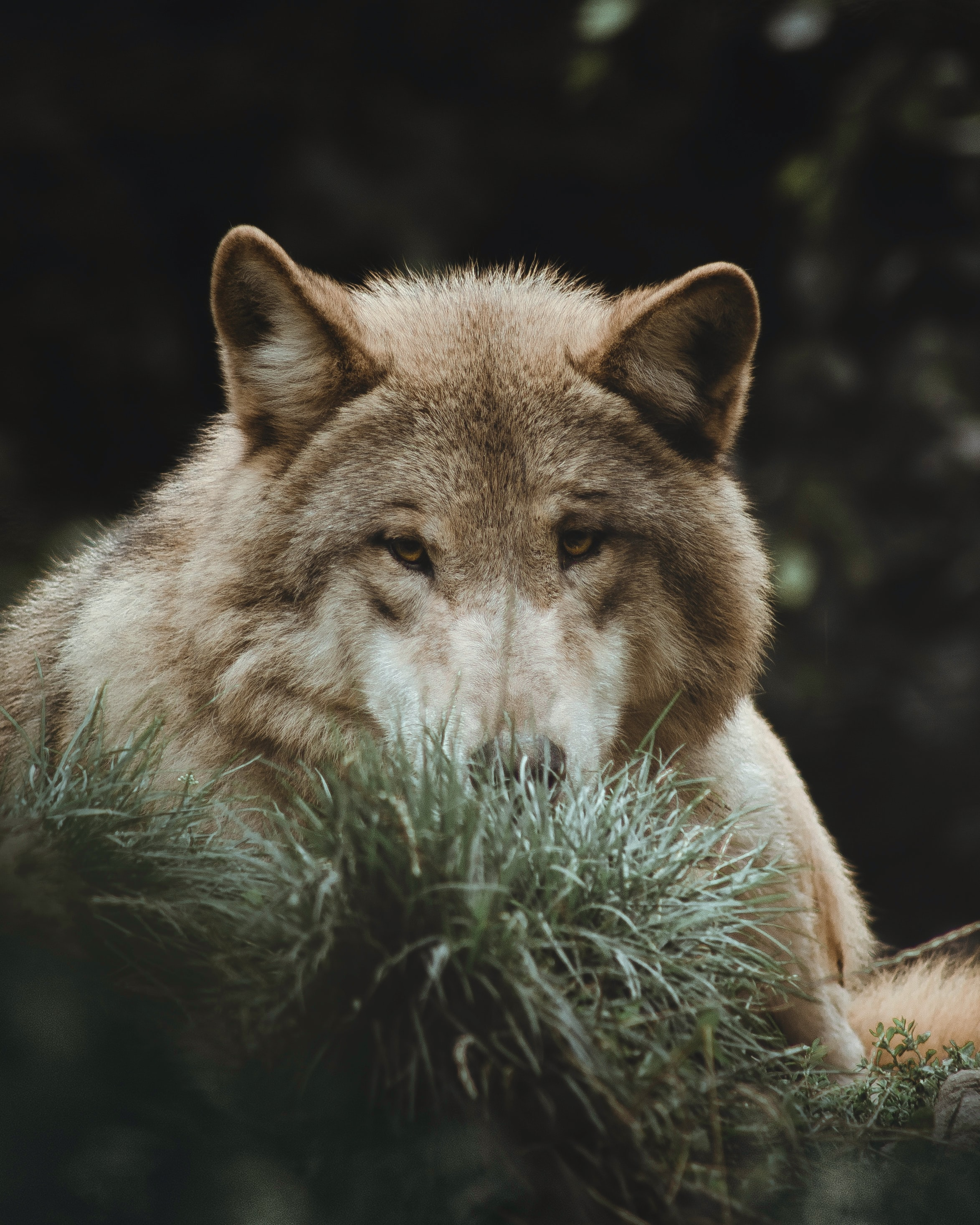 95276 download wallpaper Animals, Wolf, Grass, Predator, Animal screensavers and pictures for free