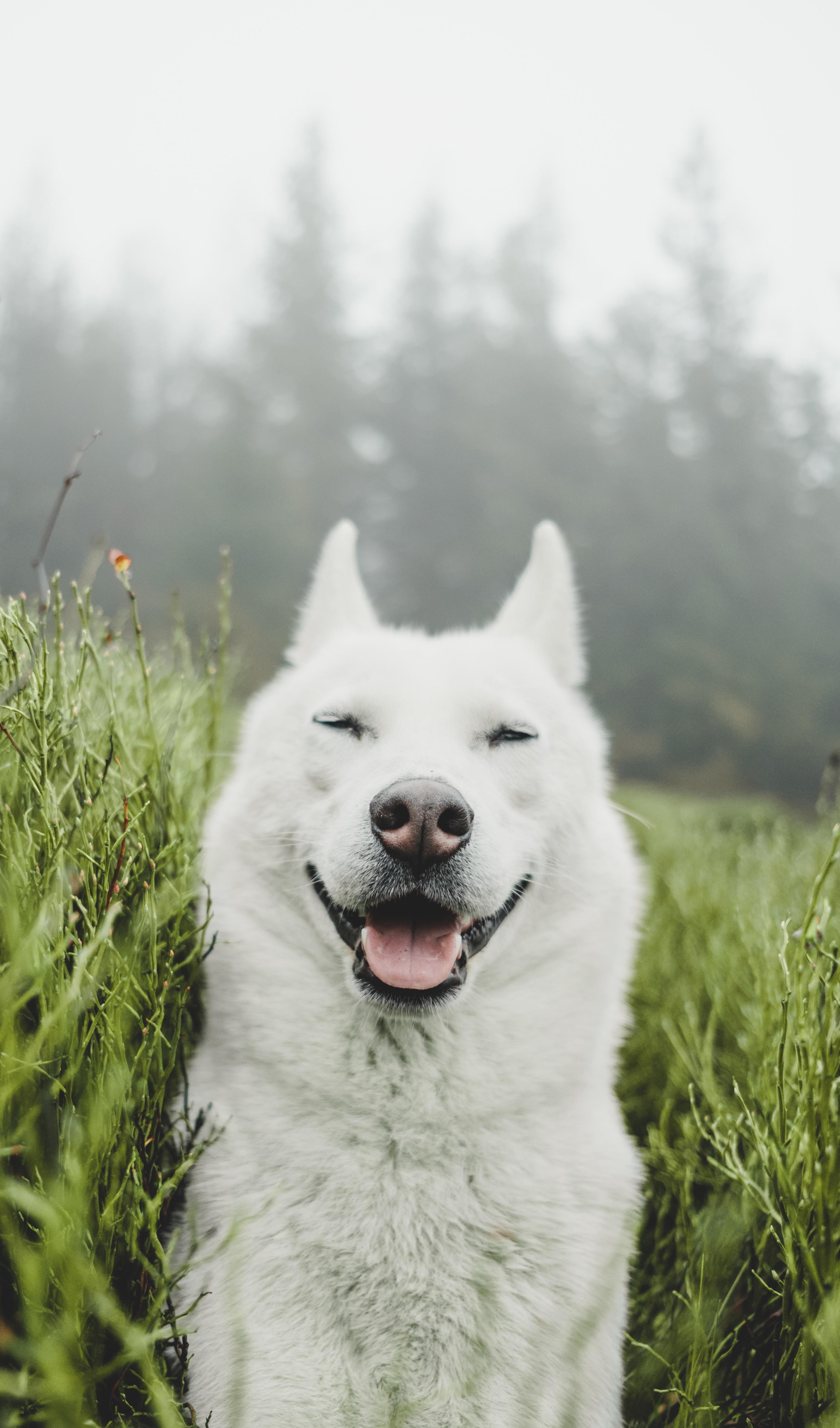 86960 скачать обои Собака, Животные, Трава, Питомец, Белый, Высунутый Язык, Забавный - заставки и картинки бесплатно