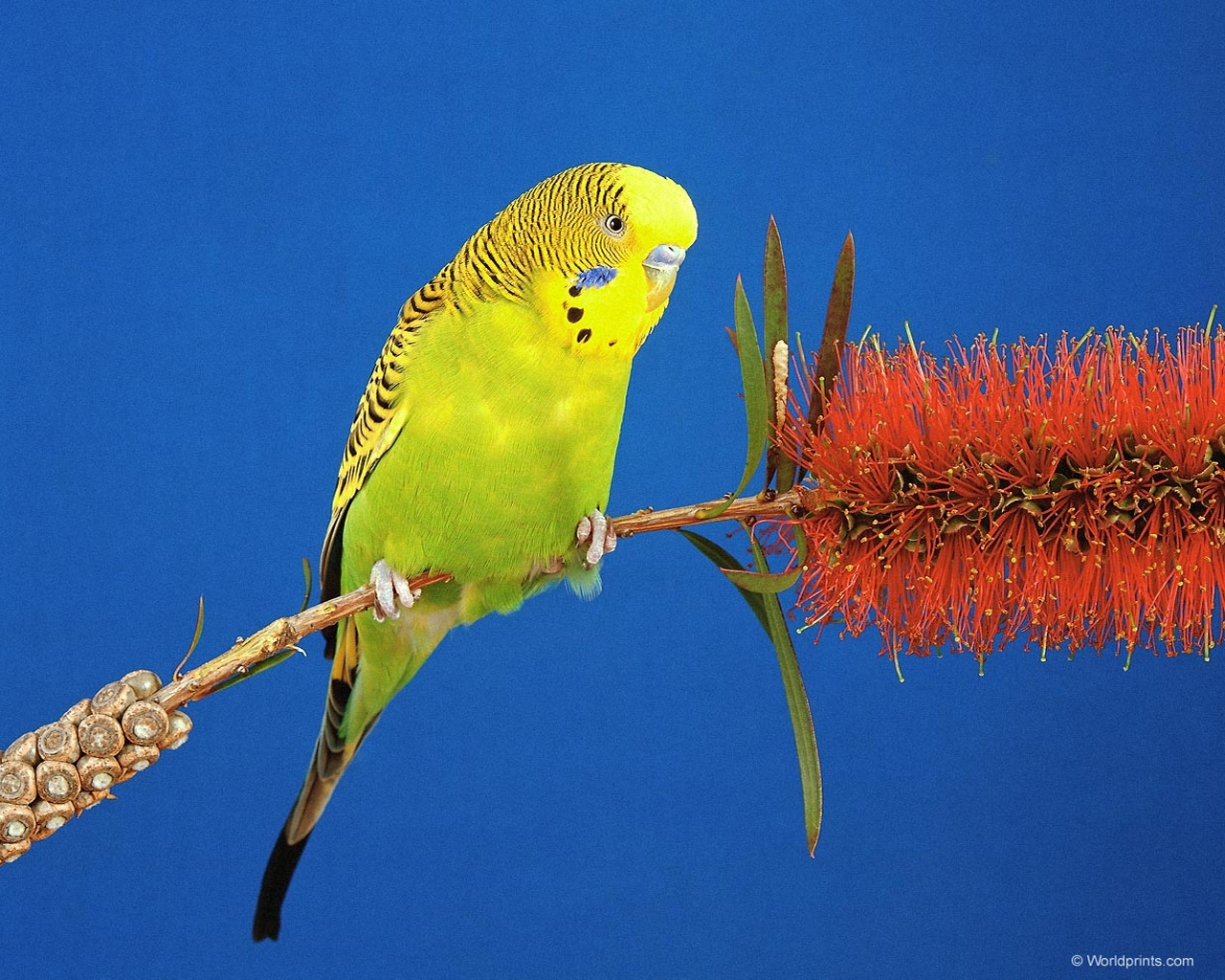 6231 download wallpaper Animals, Birds, Parrots screensavers and pictures for free
