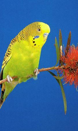 6231 baixar papel de parede Animais, Aves, Papagaios - protetores de tela e imagens gratuitamente