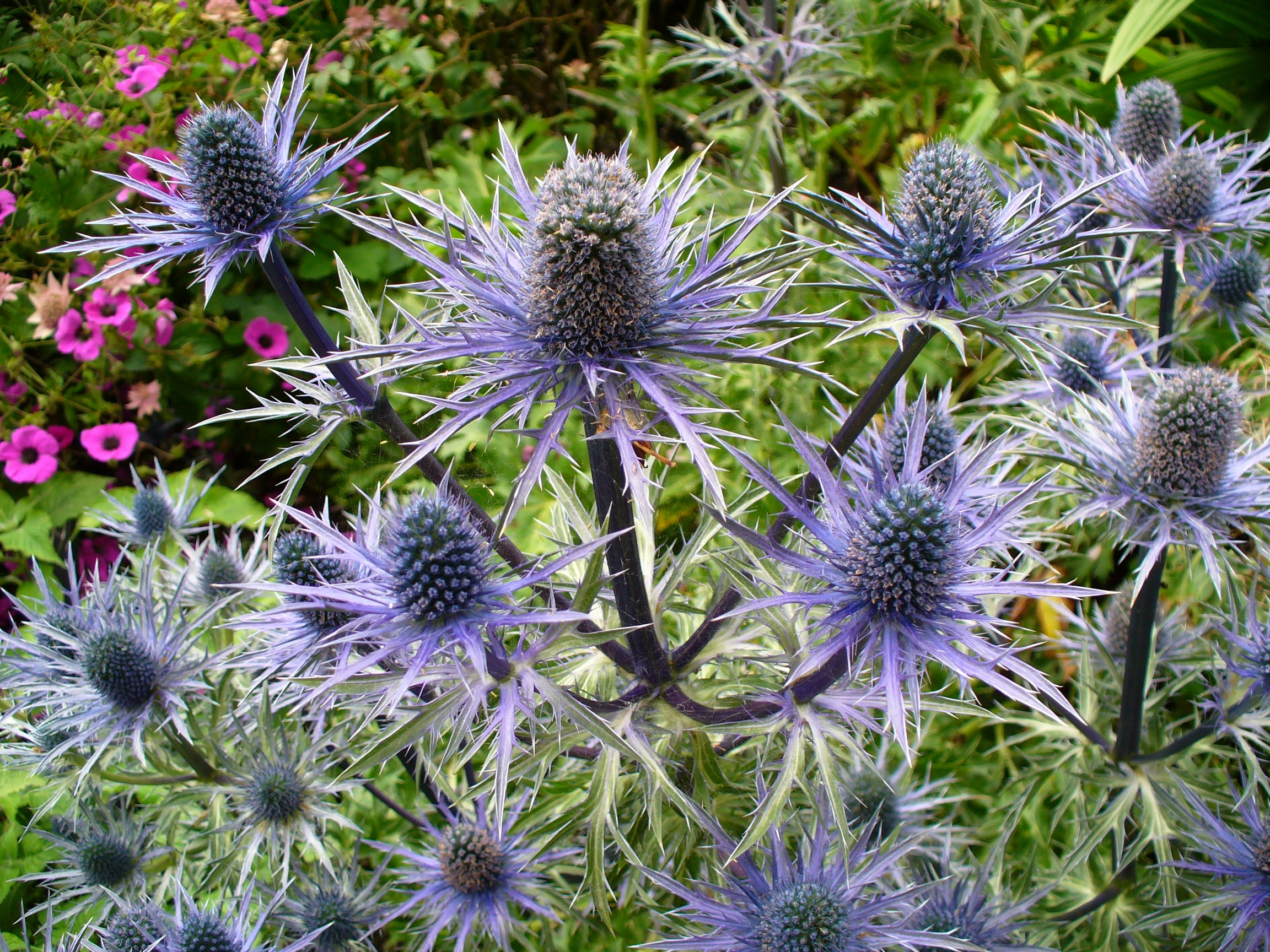 79300 Salvapantallas y fondos de pantalla Flores en tu teléfono. Descarga imágenes de Naturaleza, Cardo, Planta, Flores gratis