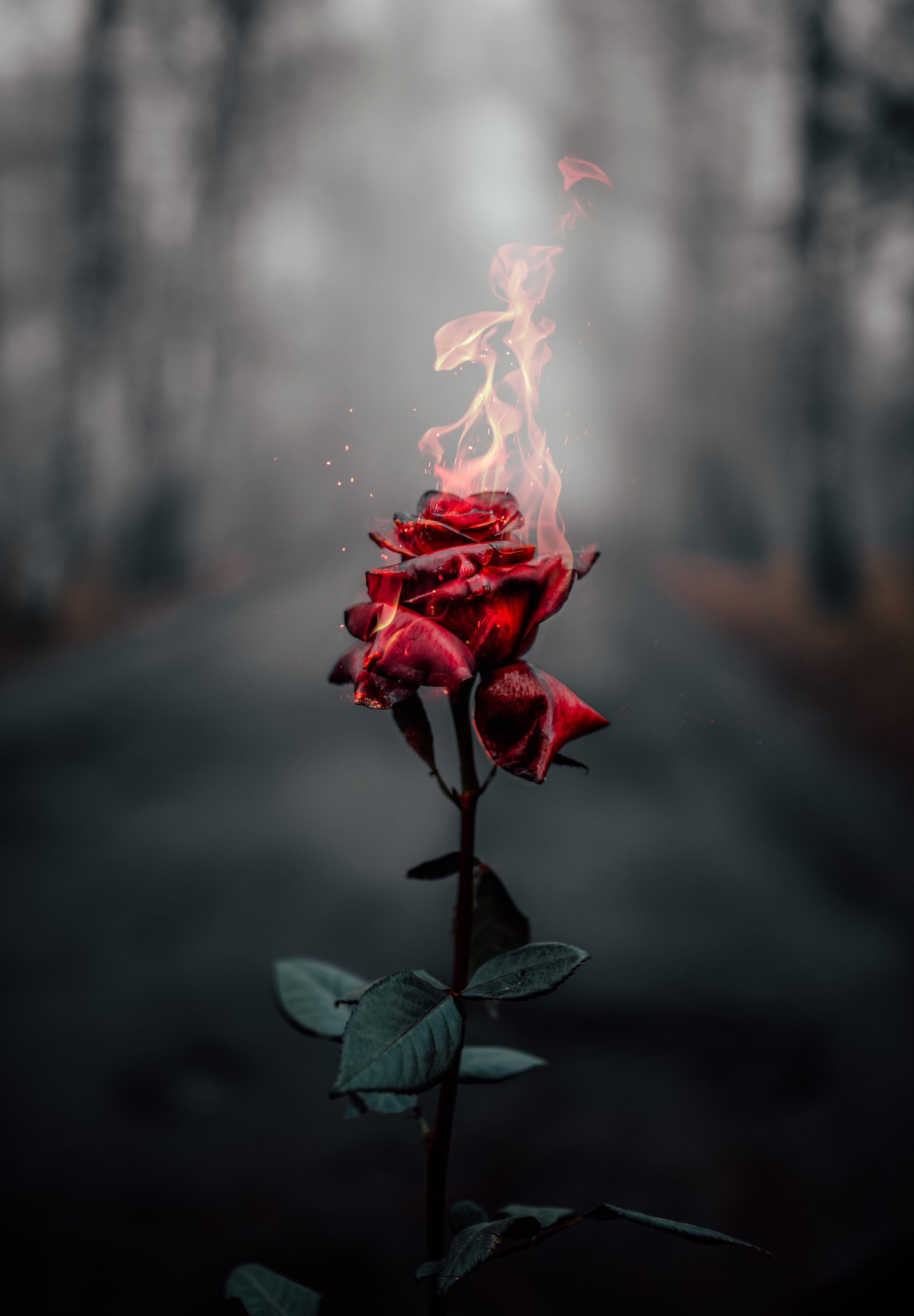 155114 завантажити шпалери Квіти, Троянда, Полум'я, Вогонь, Квітка, Роза, Горіти, Записати - заставки і картинки безкоштовно
