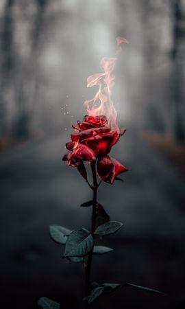 155114 завантажити шпалери Квіти, Роза, Троянда, Квітка, Вогонь, Полум'я, Горіти, Записати - заставки і картинки безкоштовно