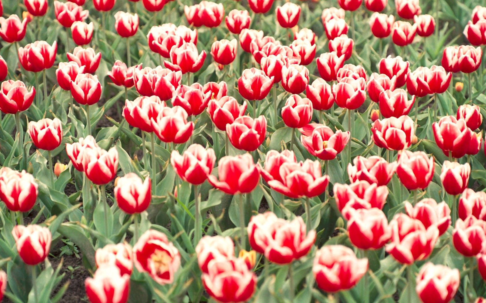 156320 скачать обои Цветы, Клумба, Пестрые, Зелень, Тюльпаны - заставки и картинки бесплатно