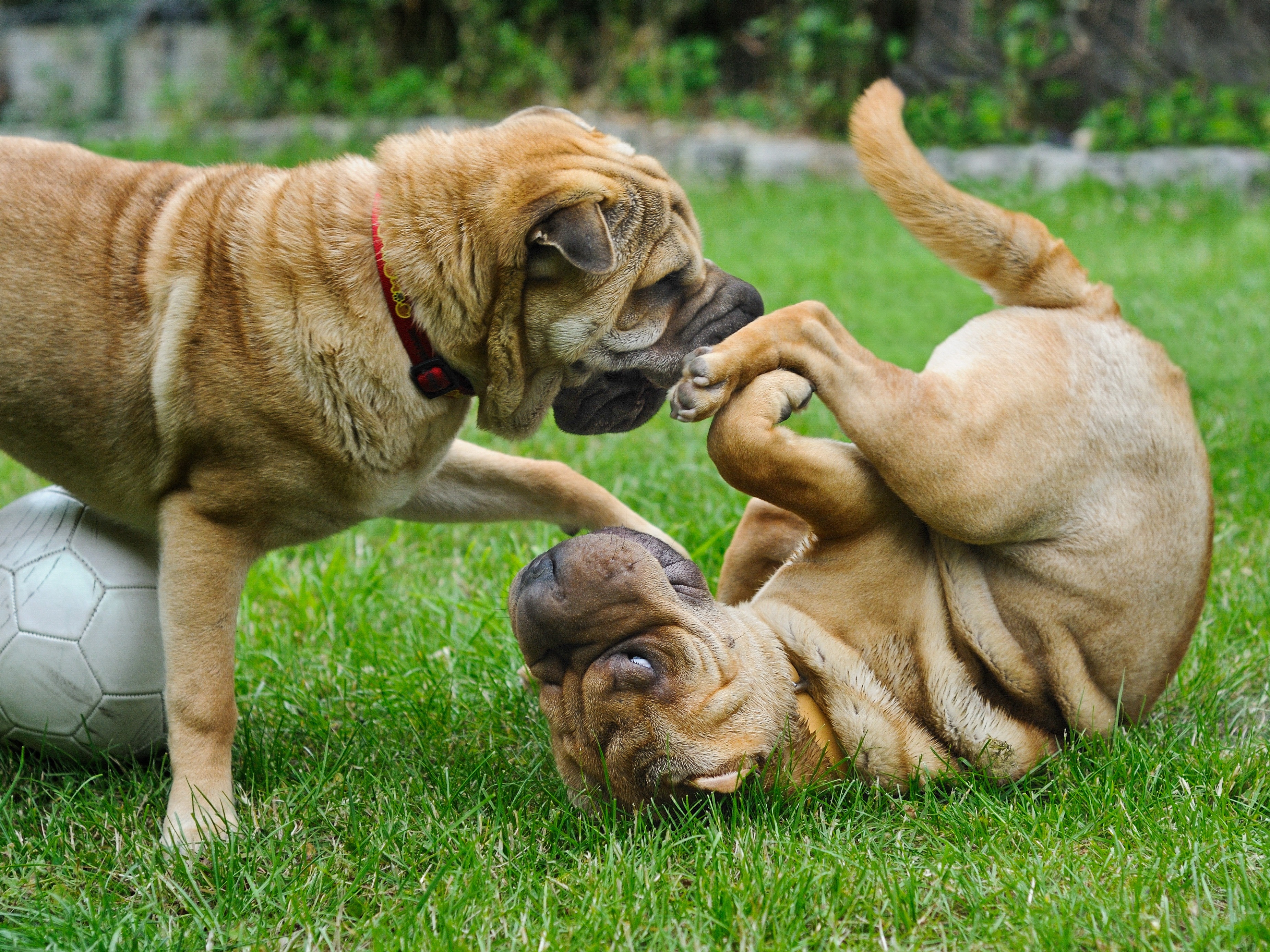 110715 download wallpaper Animals, Shar Pei, Dogs, Playful, Puppies screensavers and pictures for free