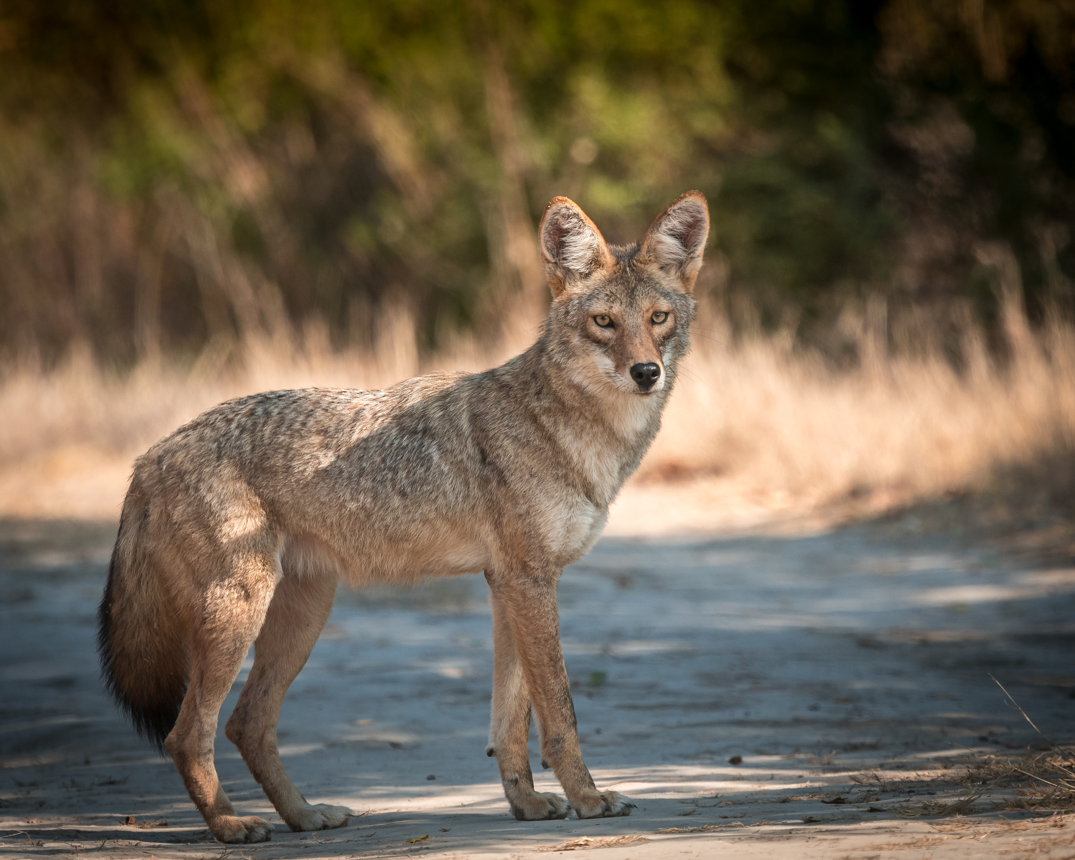 138598 download wallpaper Animals, Coyote, Muzzle, Predator, Animal, Sight, Opinion screensavers and pictures for free