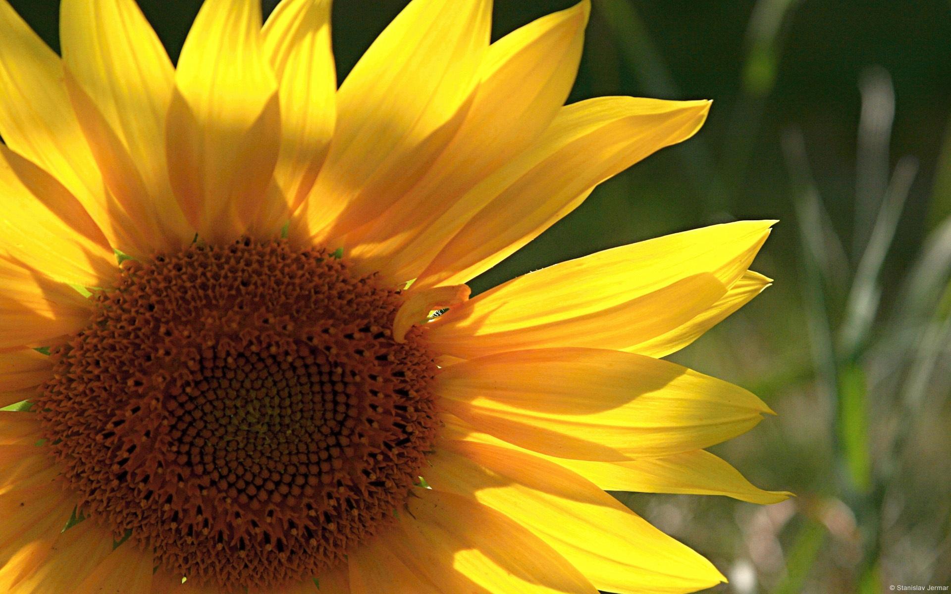 23028 免費下載壁紙 植物, 花卉, 向日葵 屏保和圖片