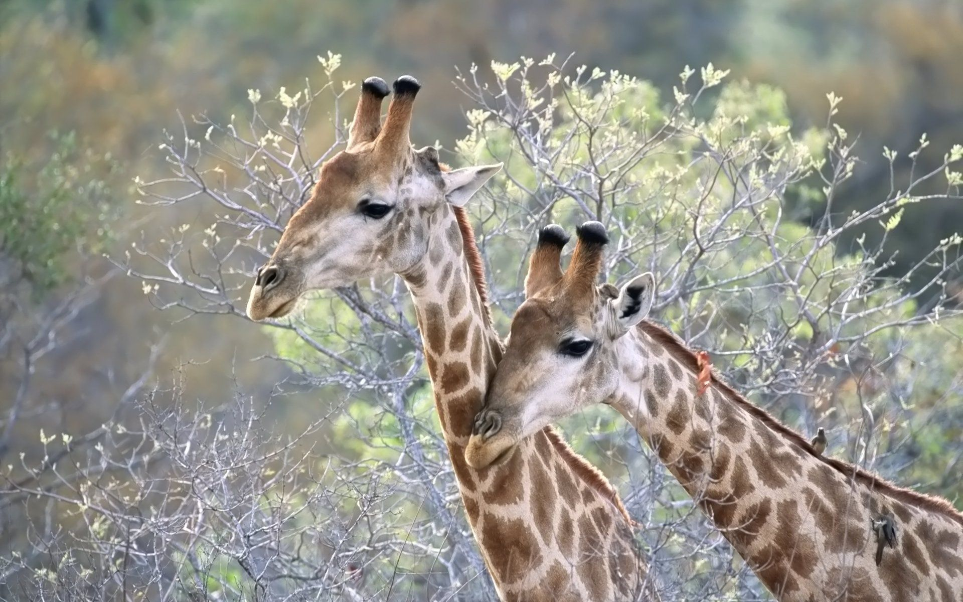 68942 download wallpaper Animals, Couple, Pair, Grass, Trees, Giraffes screensavers and pictures for free