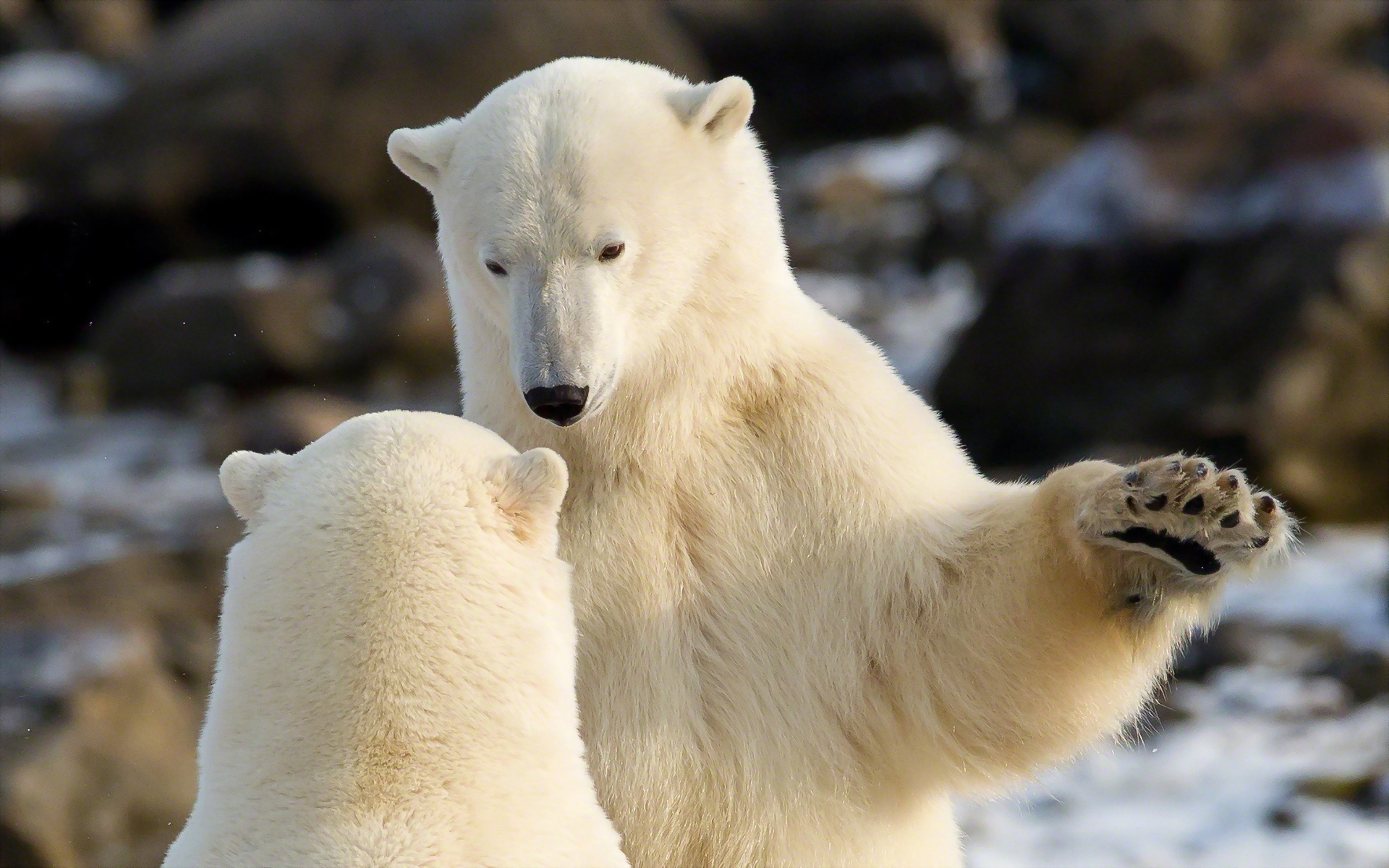 27435 download wallpaper Animals, Bears screensavers and pictures for free