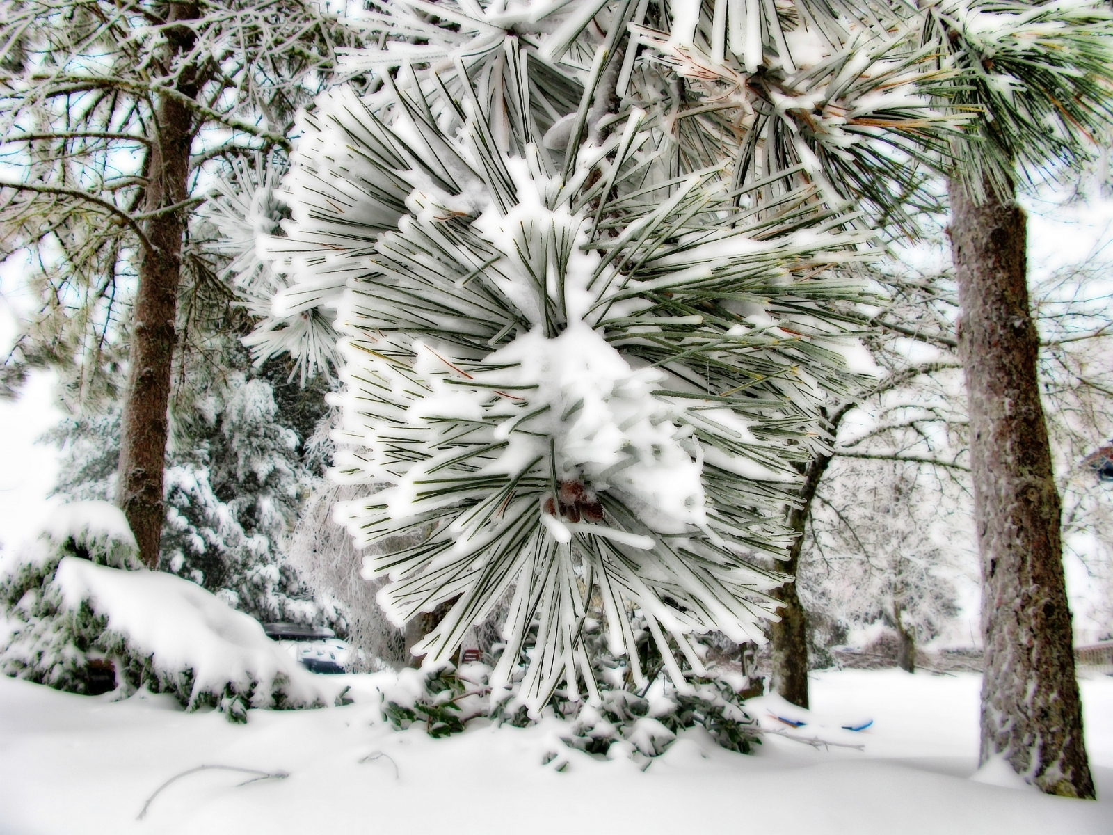 3828 download wallpaper Plants, Landscape, Winter, Needle, Pine, Snow screensavers and pictures for free