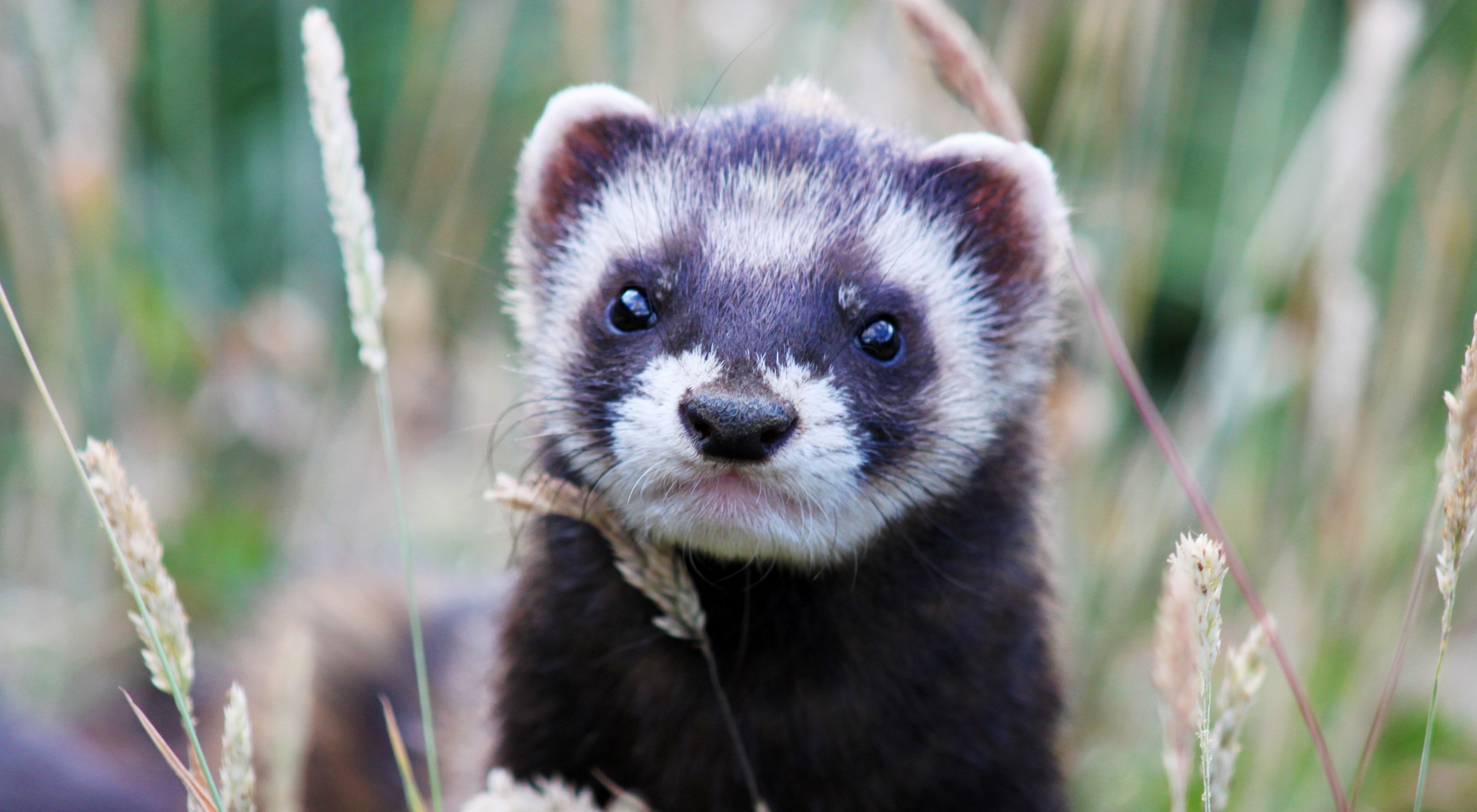 153404 download wallpaper Animals, Ferret, Polecat, Grass, Muzzle, Peek Out, Look Out screensavers and pictures for free