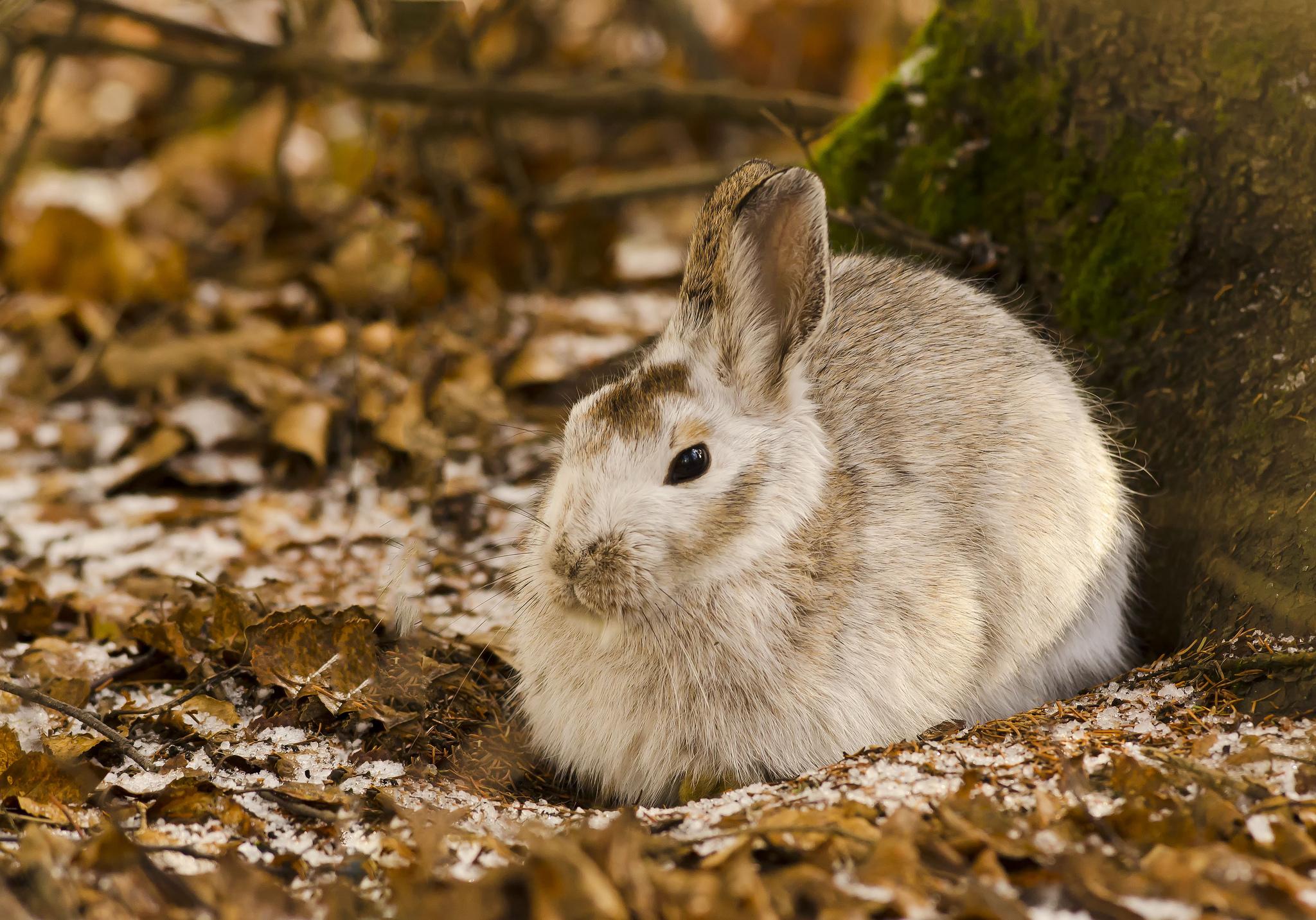 64055 скачать обои Животные, Заяц, Листья, Дерево, Холод - заставки и картинки бесплатно