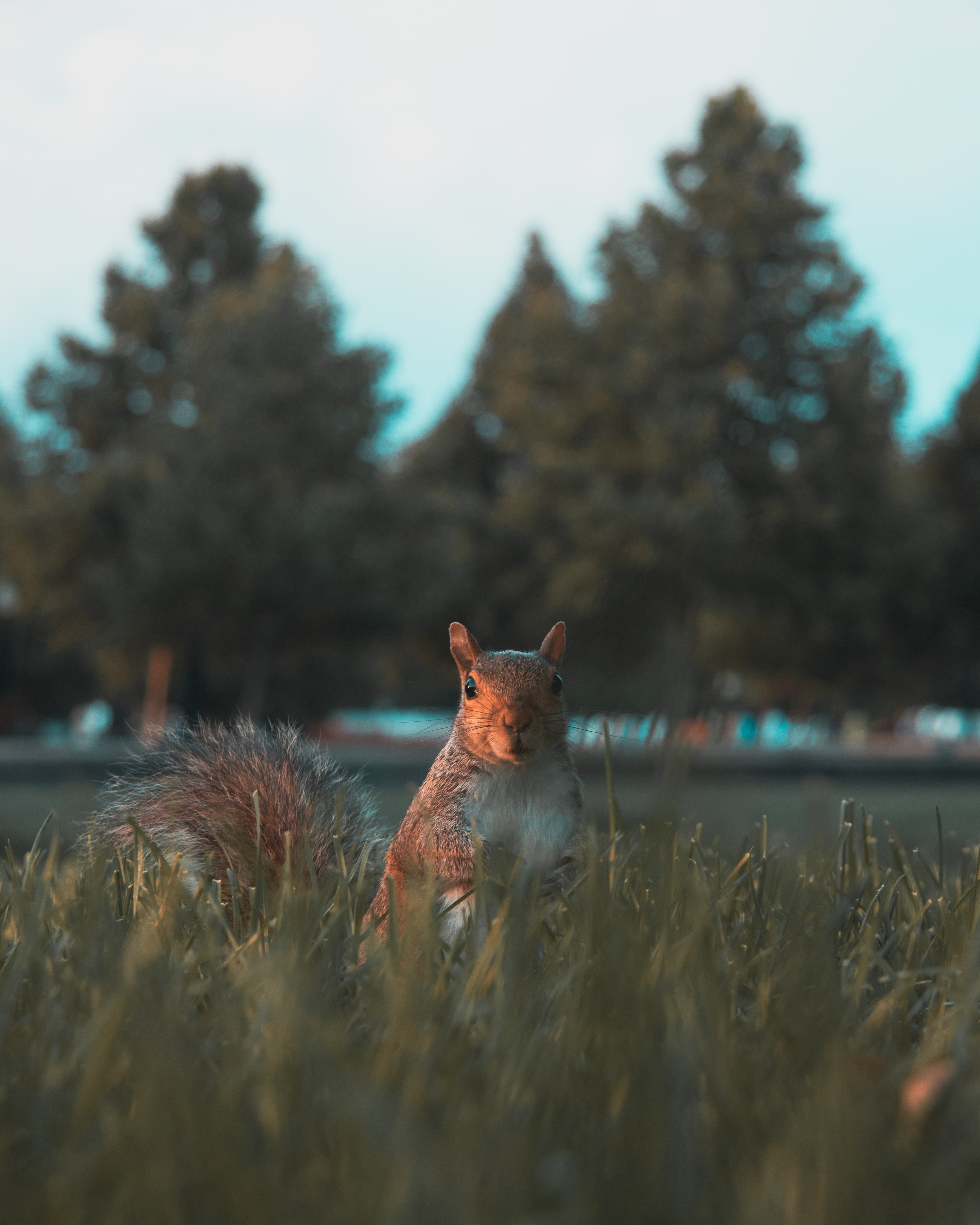 126433 Screensavers and Wallpapers Squirrel for phone. Download Animals, Squirrel, Grass, Sight, Opinion, Animal, Nice, Sweetheart pictures for free