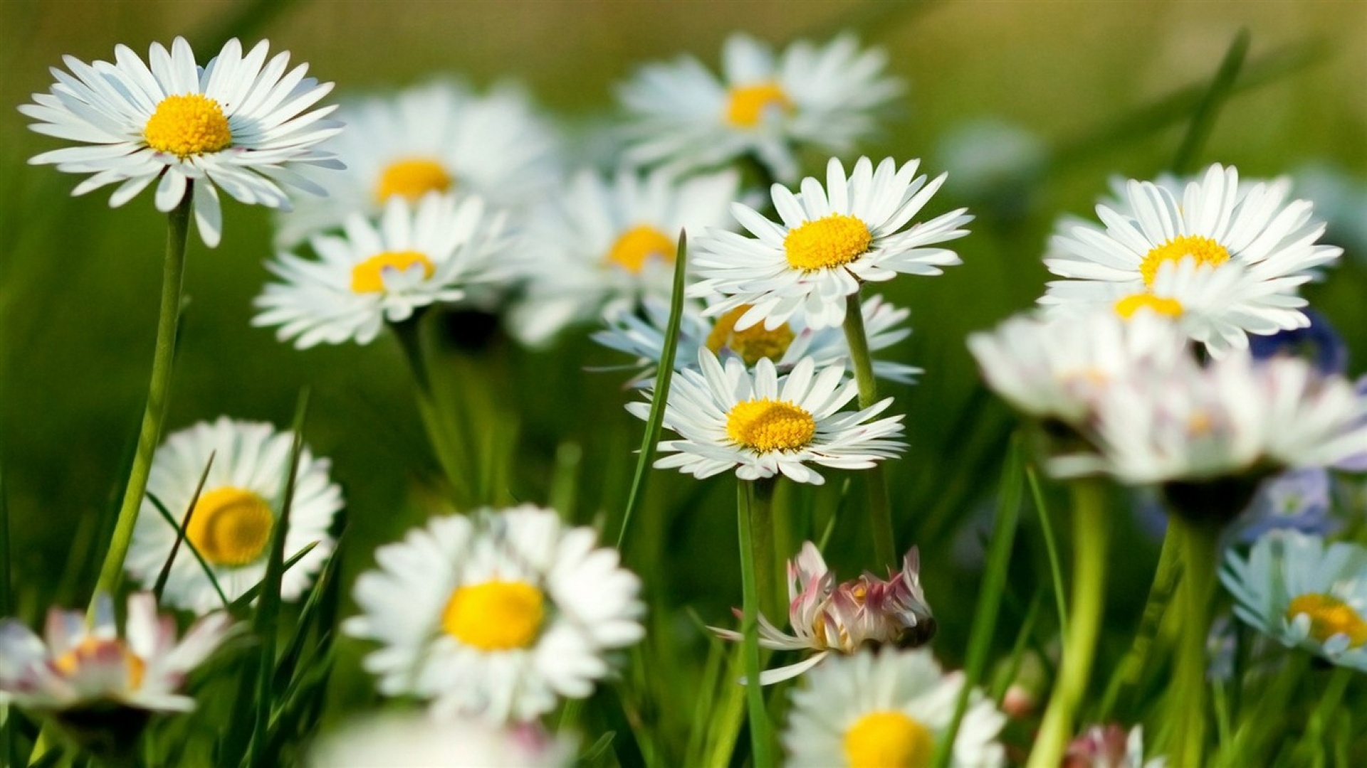 37384 download wallpaper Plants, Flowers, Camomile screensavers and pictures for free