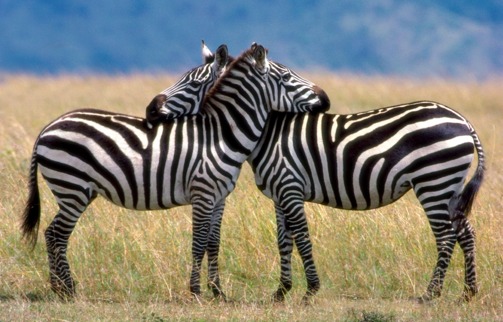 44348 download wallpaper Animals, Zebra screensavers and pictures for free