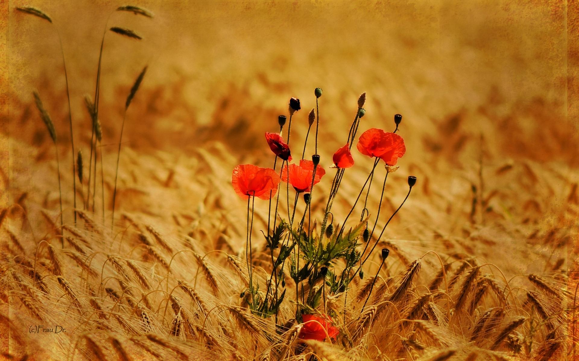 26888 скачать обои Растения, Цветы, Маки, Пшеница - заставки и картинки бесплатно