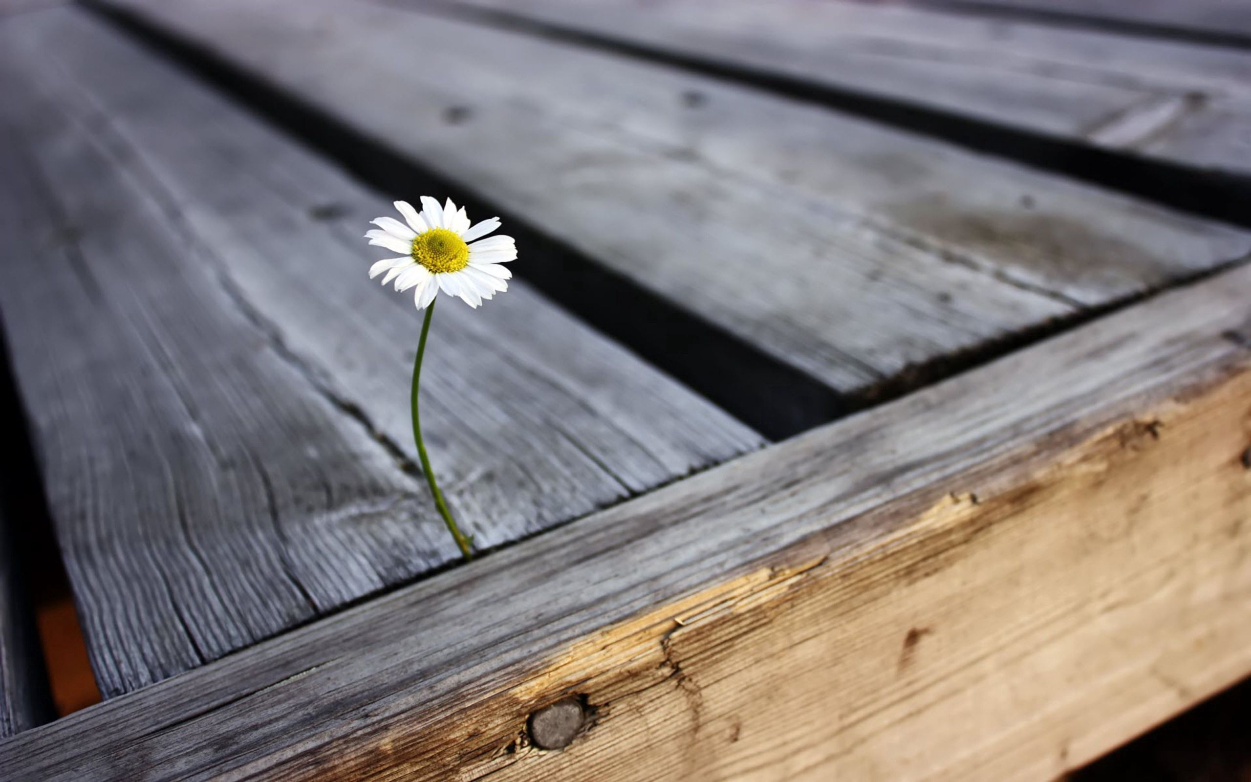 88506 download wallpaper Flowers, Chamomile, Camomile, Flower, Planks, Board, Nail screensavers and pictures for free
