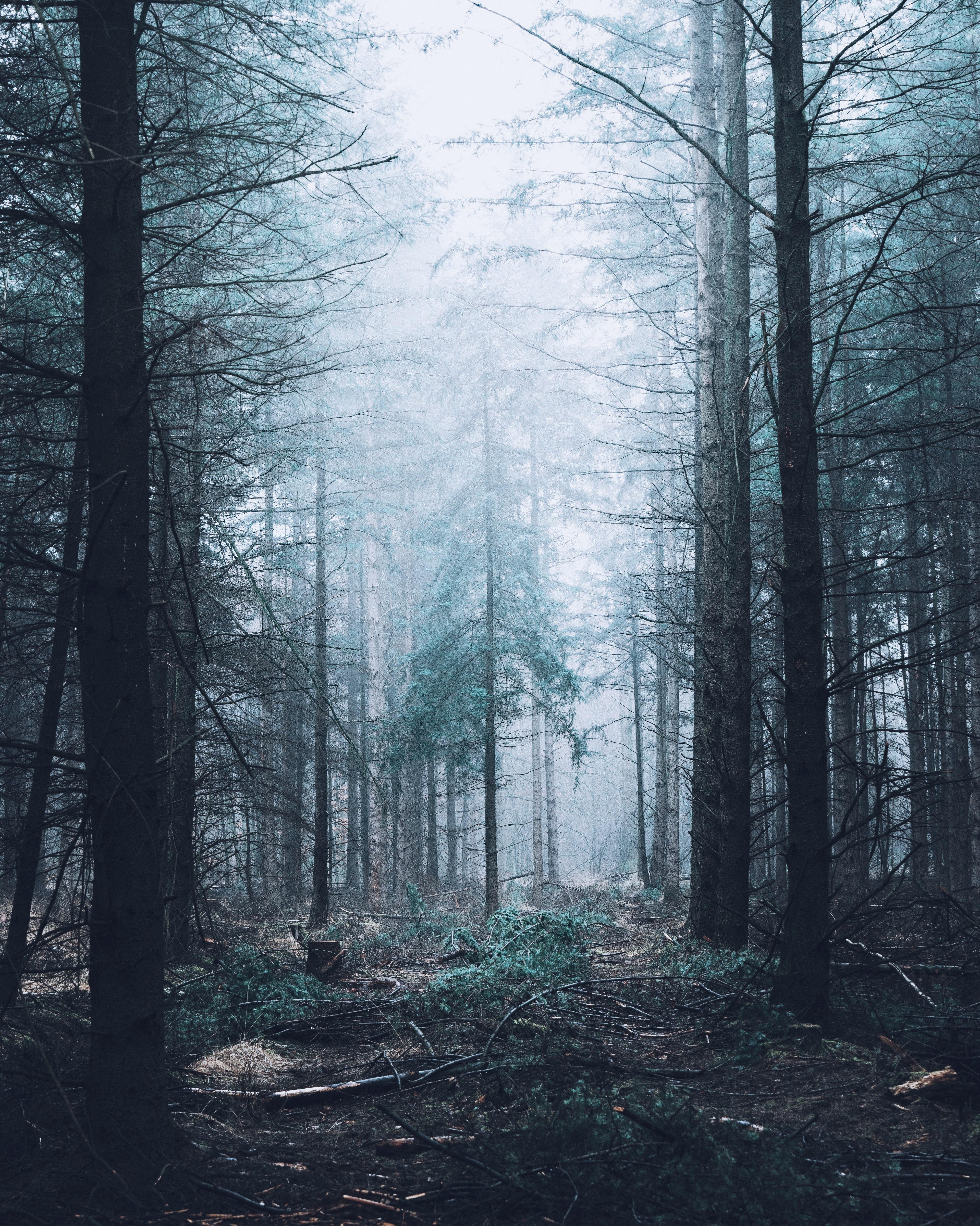 151672 скачать обои Природа, Лес, Туман, Деревья, Сосны - заставки и картинки бесплатно