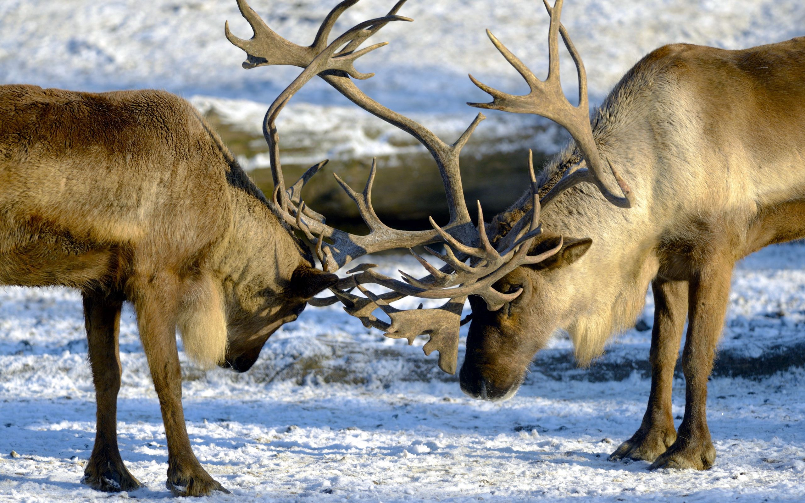 123787 download wallpaper Animals, Deers, Couple, Pair, Horns, Nature screensavers and pictures for free