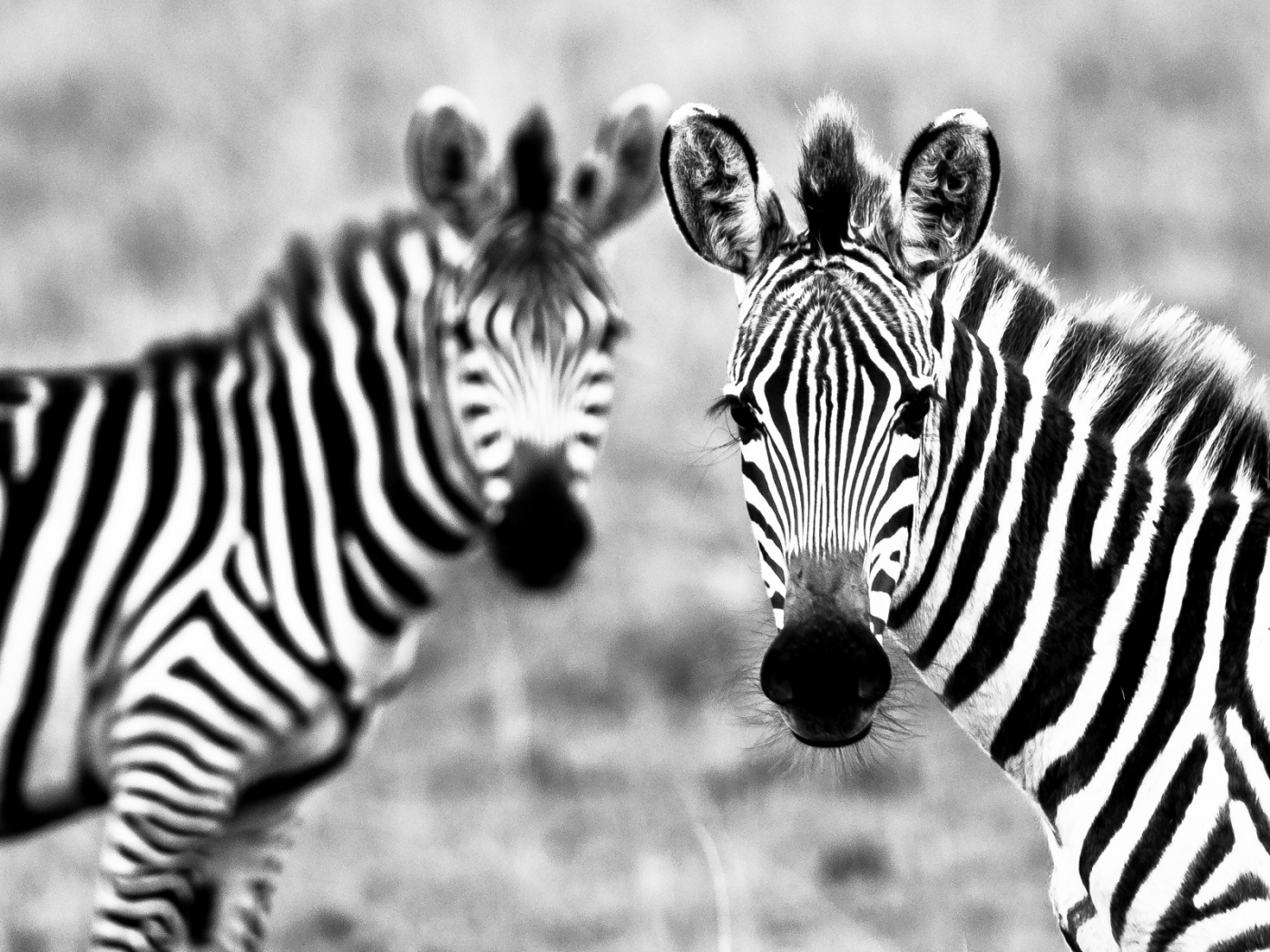 46524 download wallpaper Animals, Zebra screensavers and pictures for free