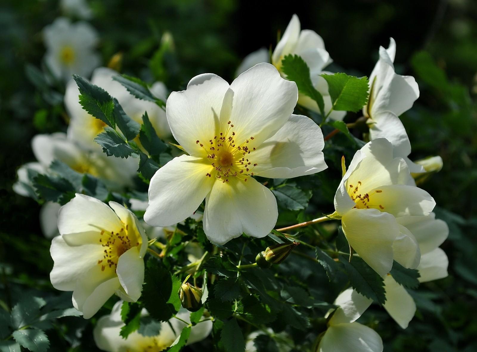 112343 скачать обои Цветы, Шиповник, Цветение, Кустарник, Зелень, Солнечно - заставки и картинки бесплатно