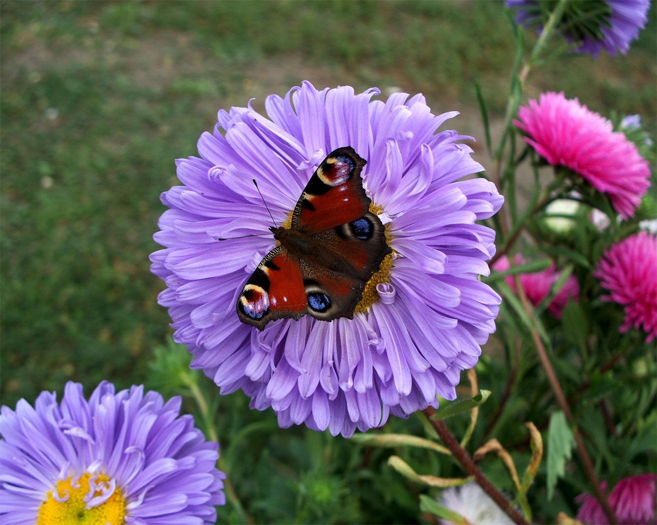 4503 download wallpaper Insects, Plants, Butterflies, Flowers screensavers and pictures for free