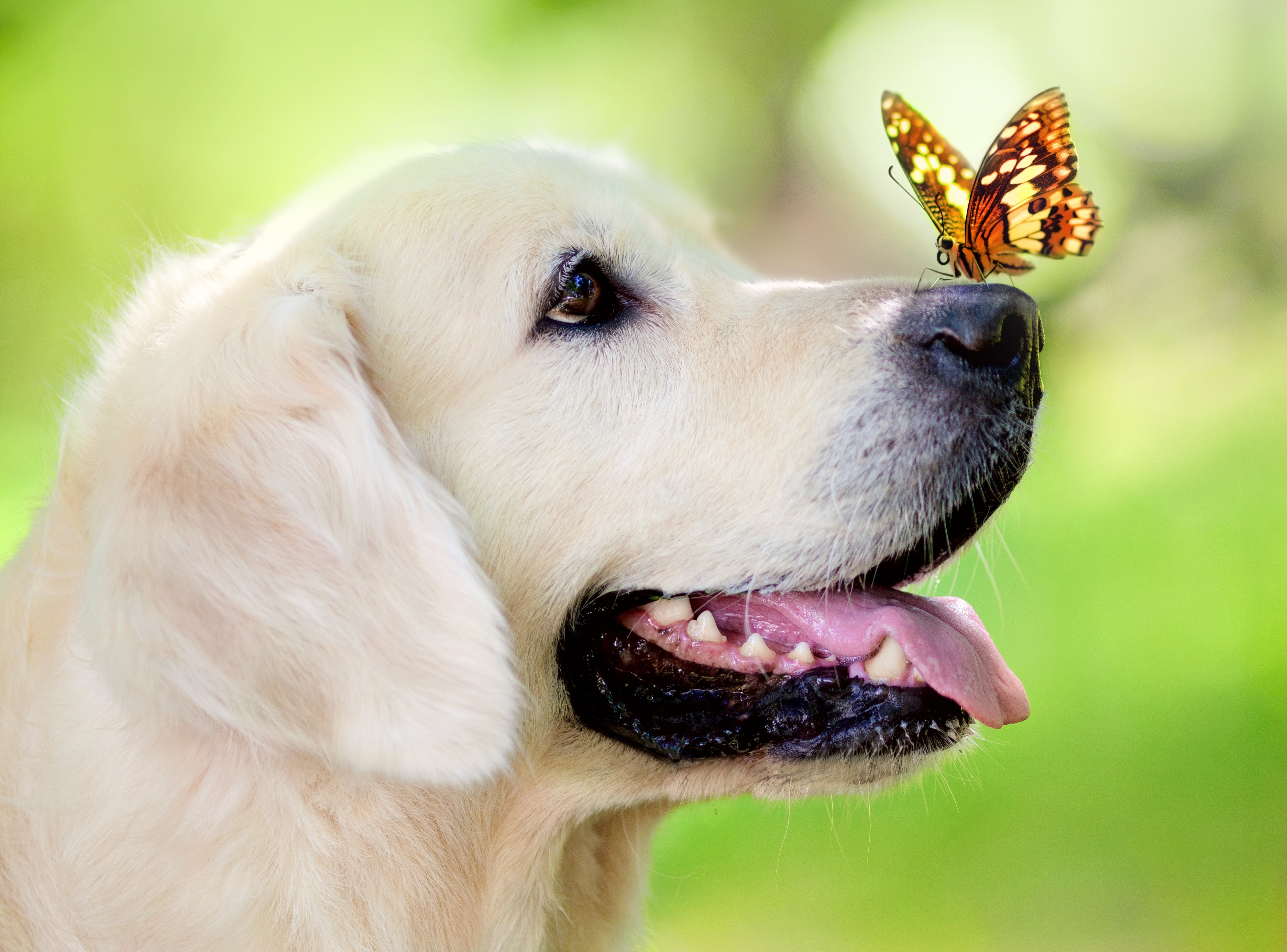79711 download wallpaper Animals, Dog, Muzzle, Butterfly, Protruding Tongue, Tongue Stuck Out, Spring, Summer screensavers and pictures for free
