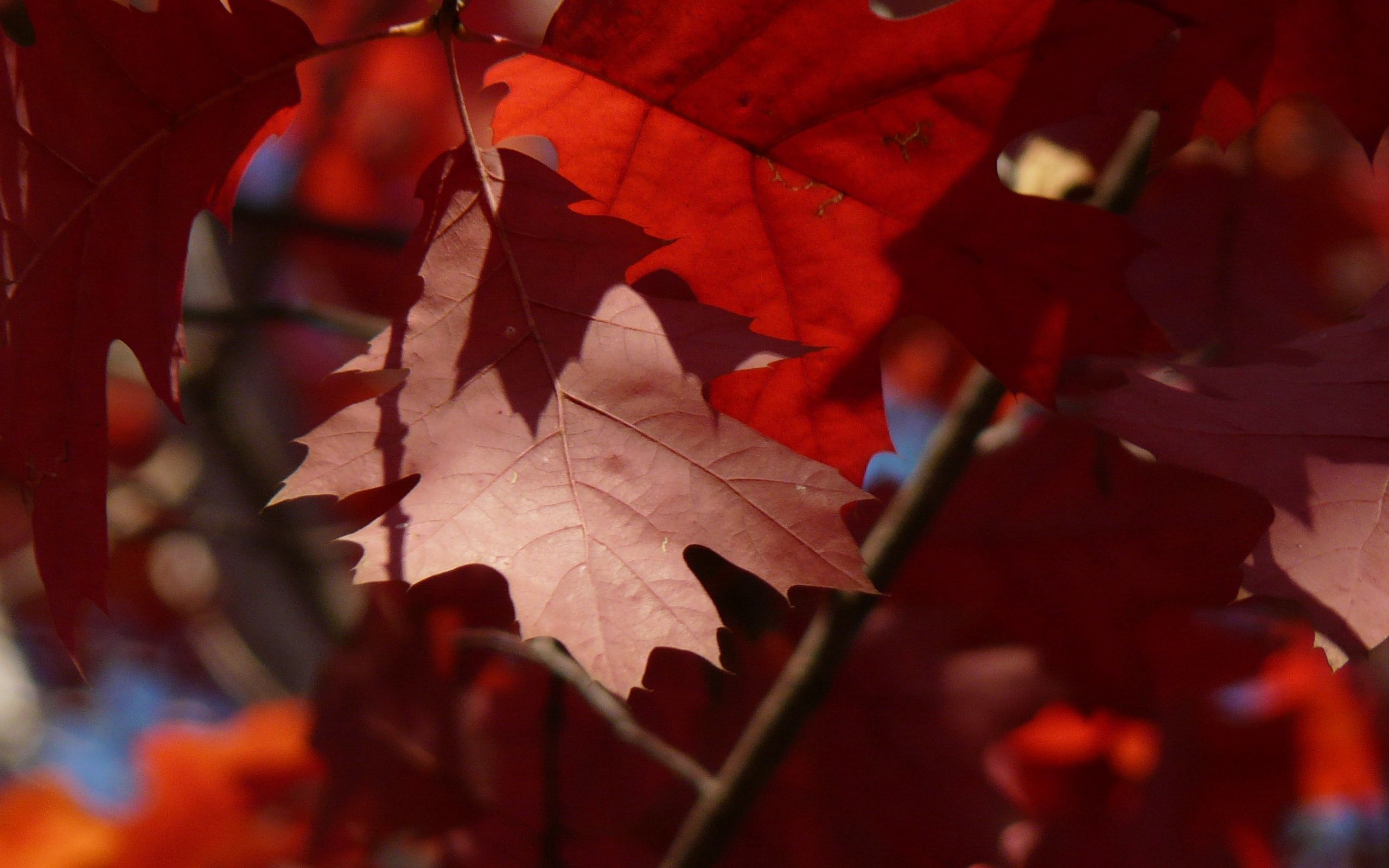 107002 download wallpaper Macro, Maple, Leaves, Autumn screensavers and pictures for free