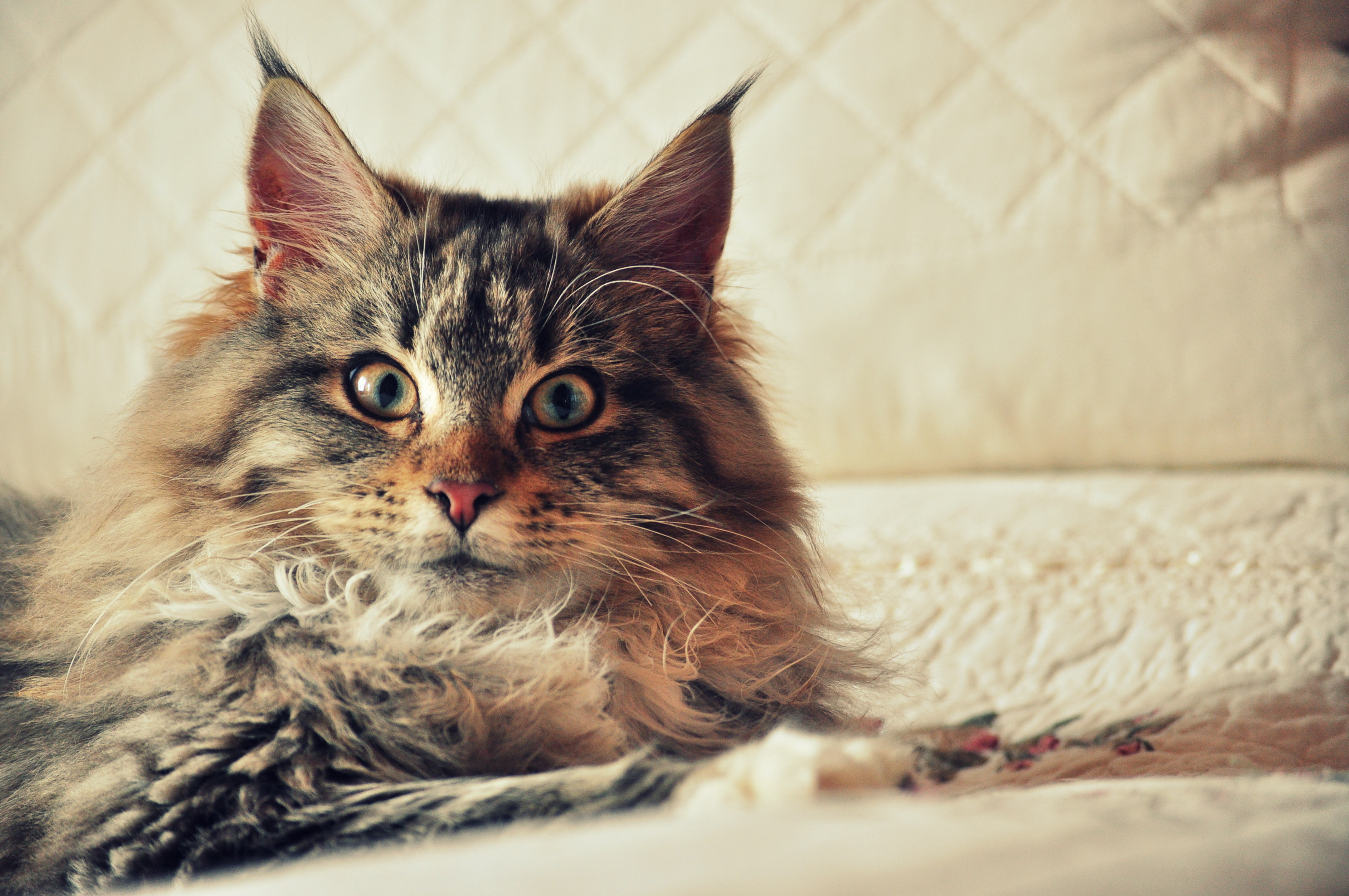 142548 Screensavers and Wallpapers Fluffy for phone. Download Animals, Cat, Fluffy, Sight, Opinion, Maine Coon, Maine pictures for free