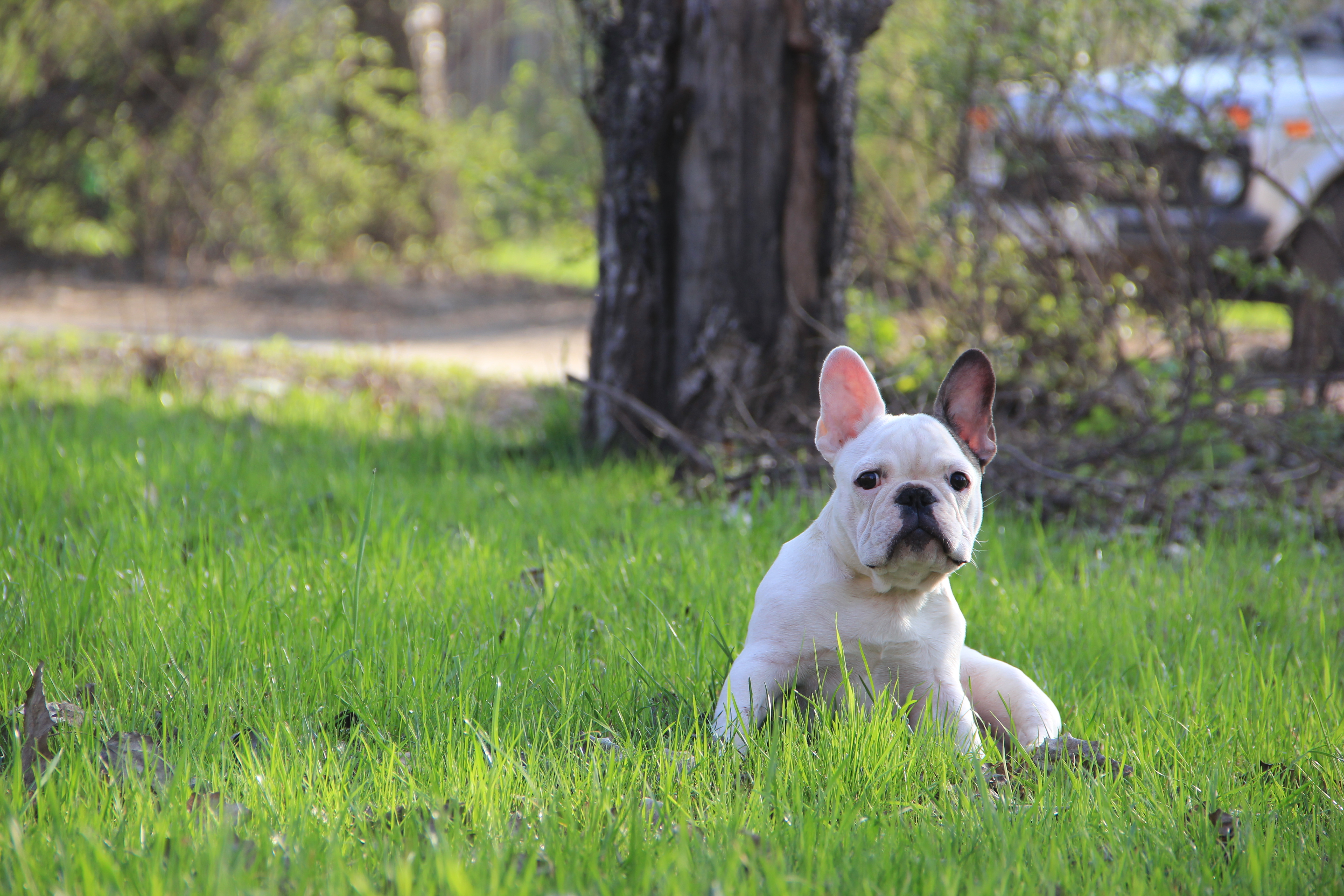 153481 download wallpaper Animals, French Bulldog, Puppy, Grass screensavers and pictures for free