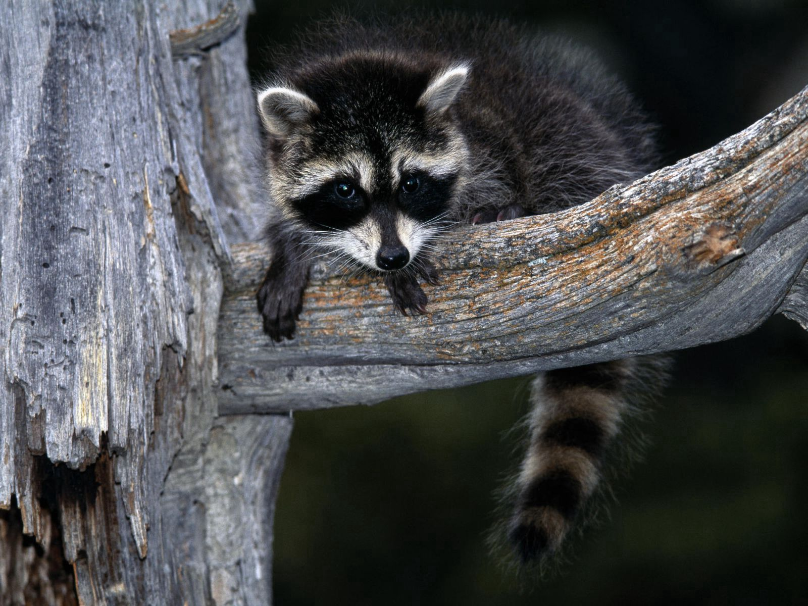121808 Screensavers and Wallpapers Raccoon for phone. Download Animals, Sit, Branch, Striped, Raccoon pictures for free