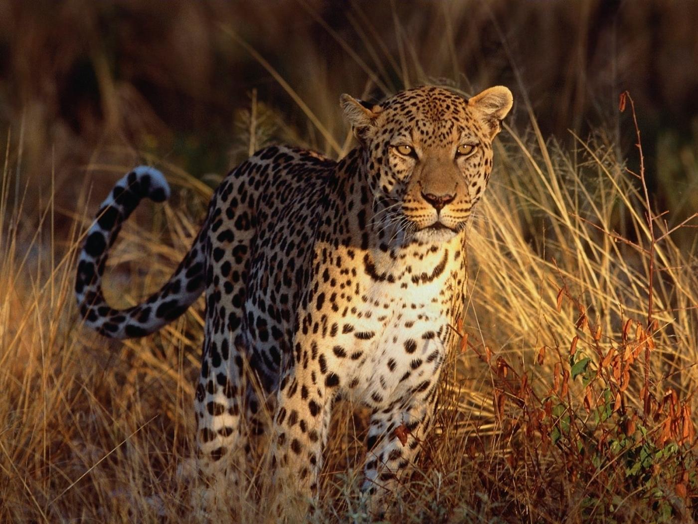 41589 descargar fondo de pantalla Animales, Tigres: protectores de pantalla e imágenes gratis