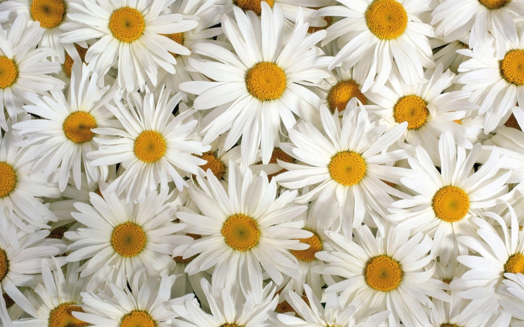 30064 скачать обои Ромашки, Растения, Цветы - заставки и картинки бесплатно