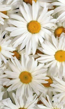 30064 descargar fondo de pantalla Plantas, Flores, Camomila: protectores de pantalla e imágenes gratis
