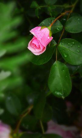 150251 baixar papel de parede Flores, Flor Rosa, Rosa, Arbusto, Flor, Bud, Botão, Drops - protetores de tela e imagens gratuitamente