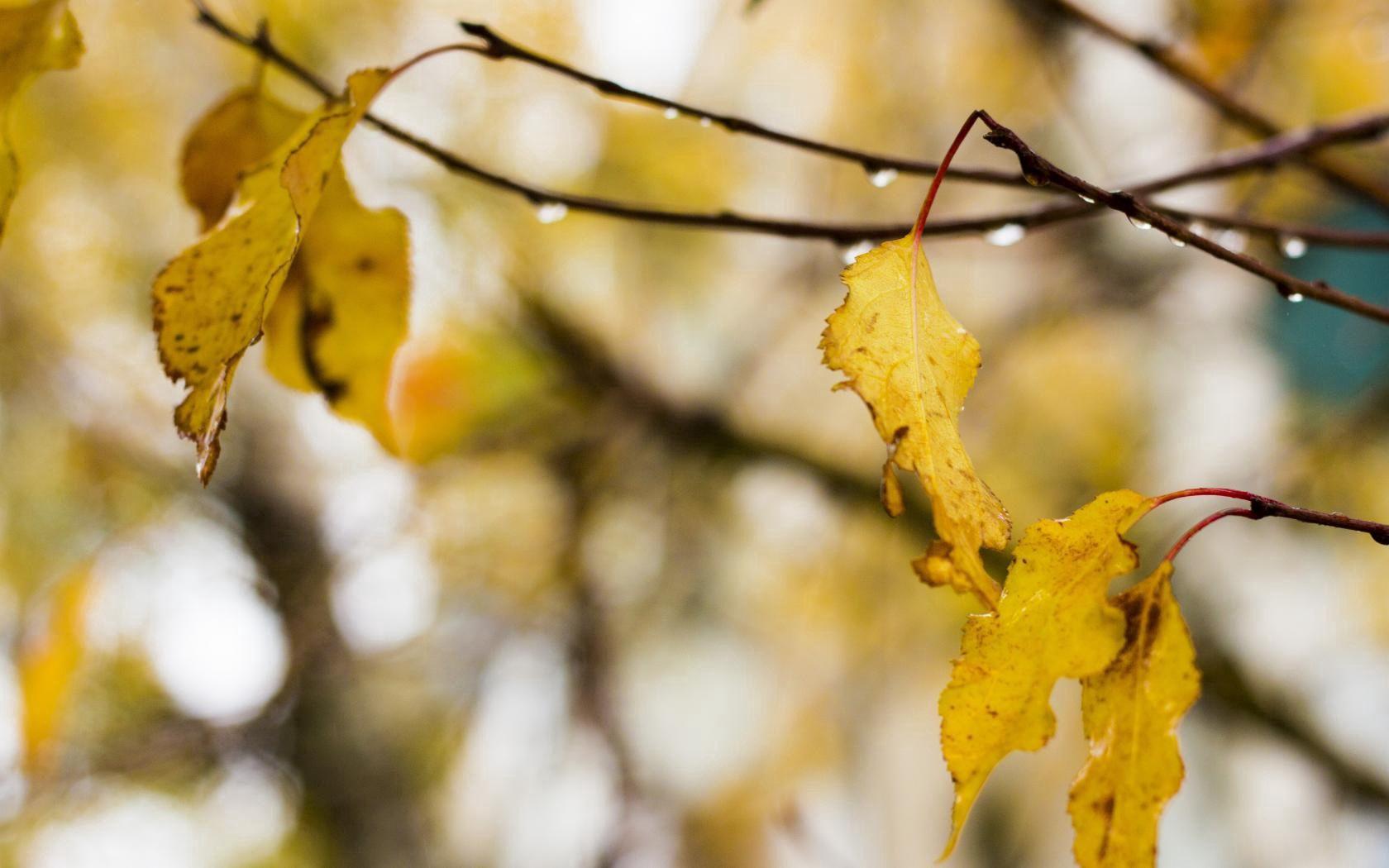 66326 скачать обои Макро, Листья, Капли, Дождь, Осень, Дерево - заставки и картинки бесплатно