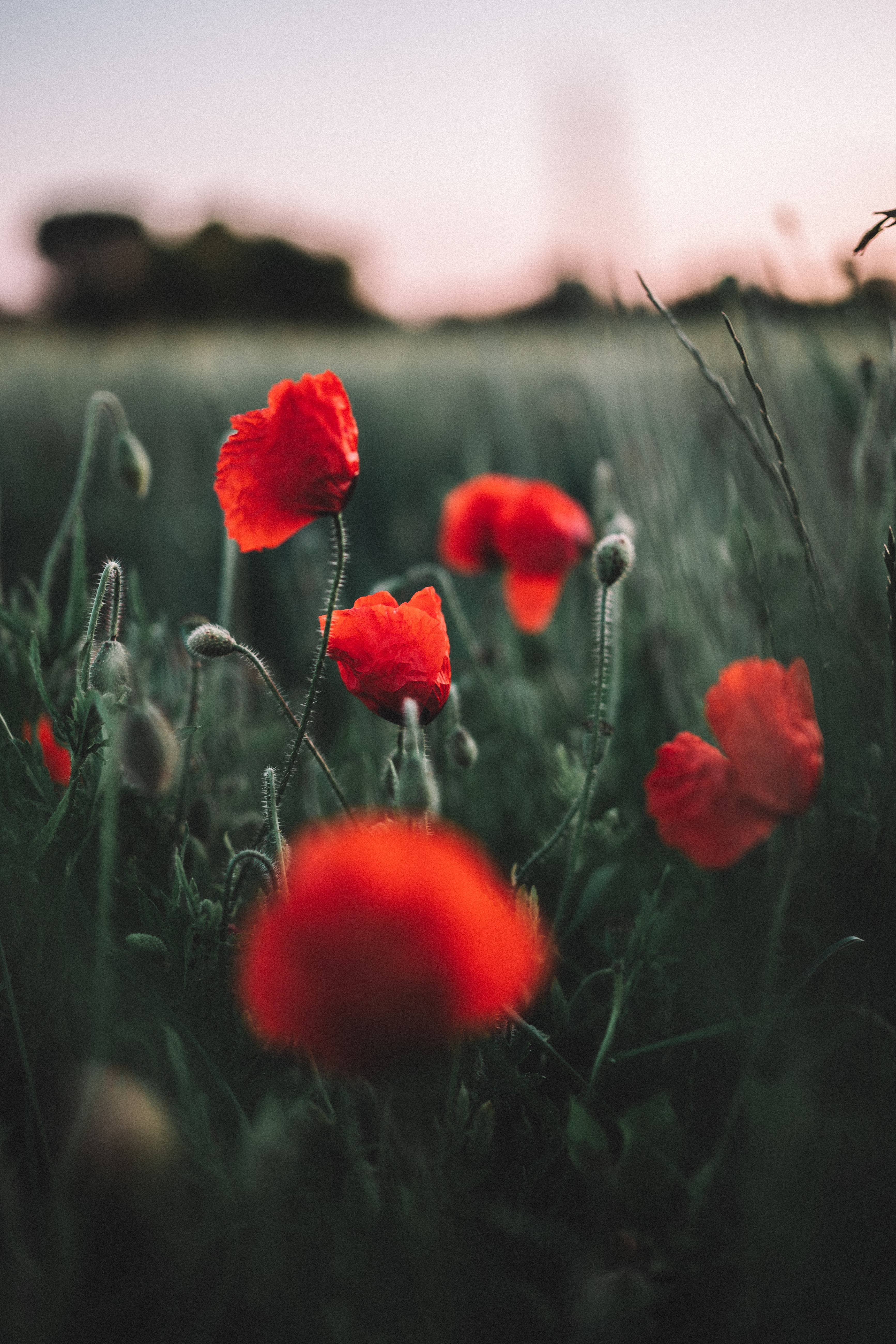 139413 Screensavers and Wallpapers Poppies for phone. Download Flowers, Poppies, Field, Wildflowers pictures for free