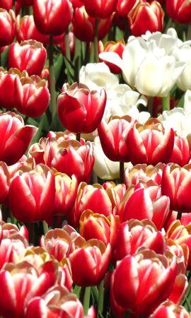 16324 скачать обои Растения, Цветы, Фон, Тюльпаны - заставки и картинки бесплатно