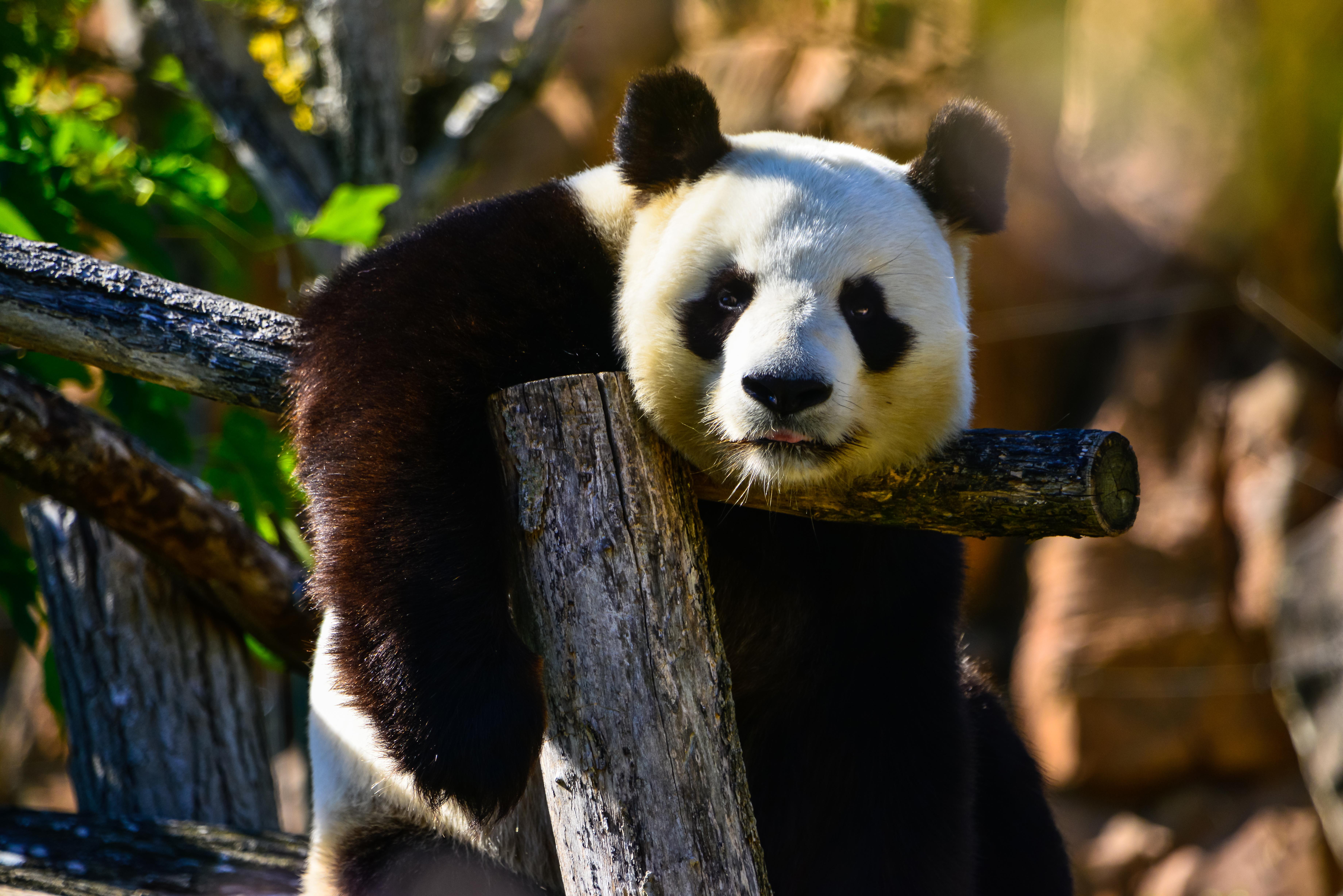 62505 Hintergrundbild herunterladen Tiere, Sicht, Meinung, Wilde Natur, Wildlife, Tier, Panda - Bildschirmschoner und Bilder kostenlos