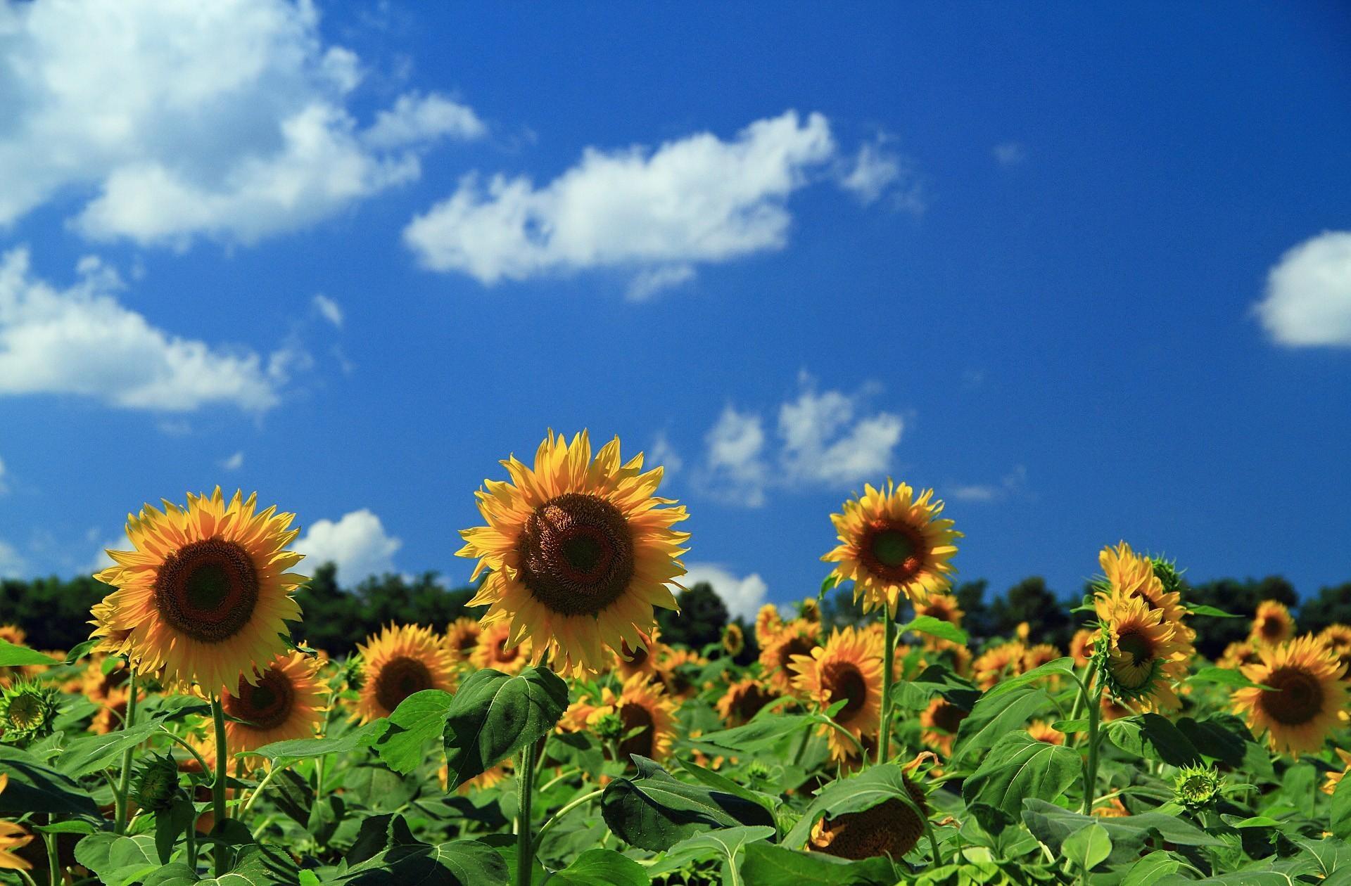 97458 скачать обои Подсолнухи, Цветы, Небо, Облака, Поле - заставки и картинки бесплатно