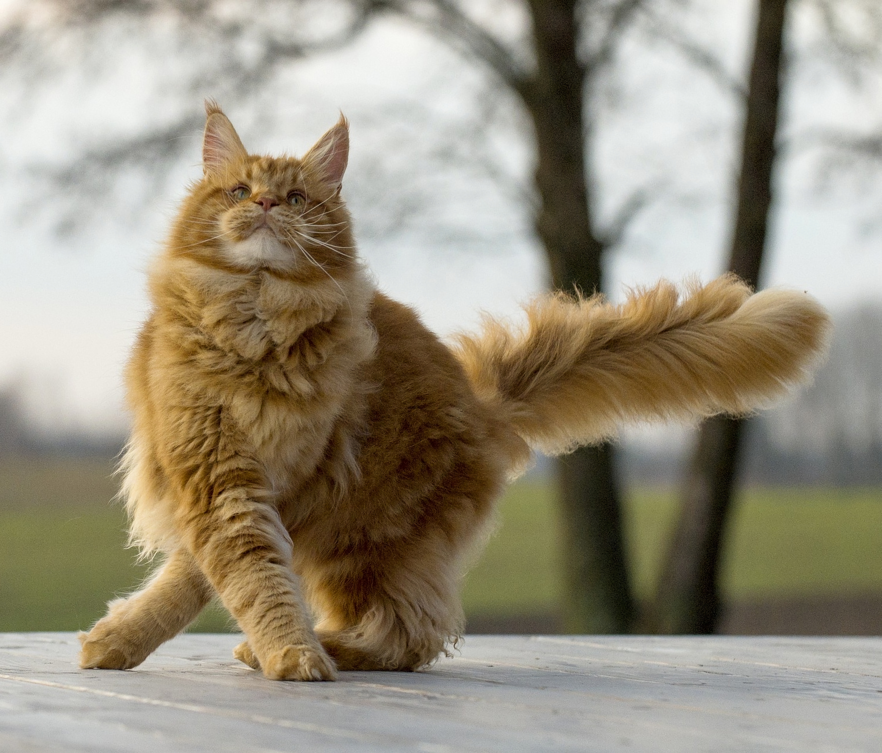 82803 download wallpaper Animals, Maine Coon, Maine, Cat, Fluffy, Cool screensavers and pictures for free