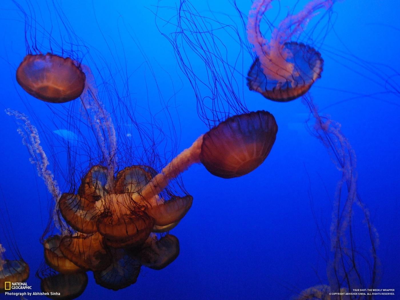 26847 免費下載壁紙 动物, 海, 海蜇 屏保和圖片