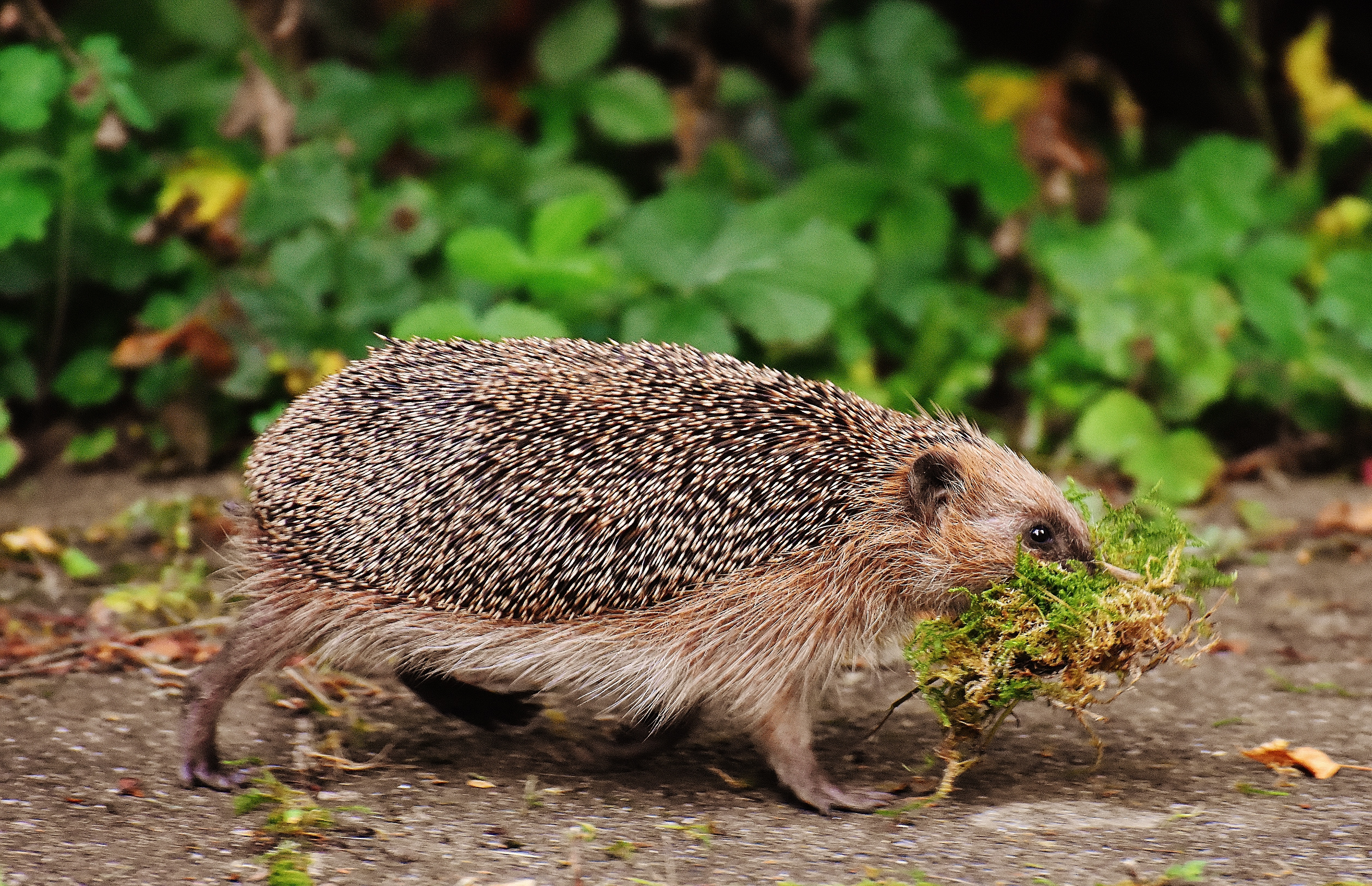 61758 download wallpaper Animals, Hedgehog, Moss, Stroll, Thorns, Prickles screensavers and pictures for free