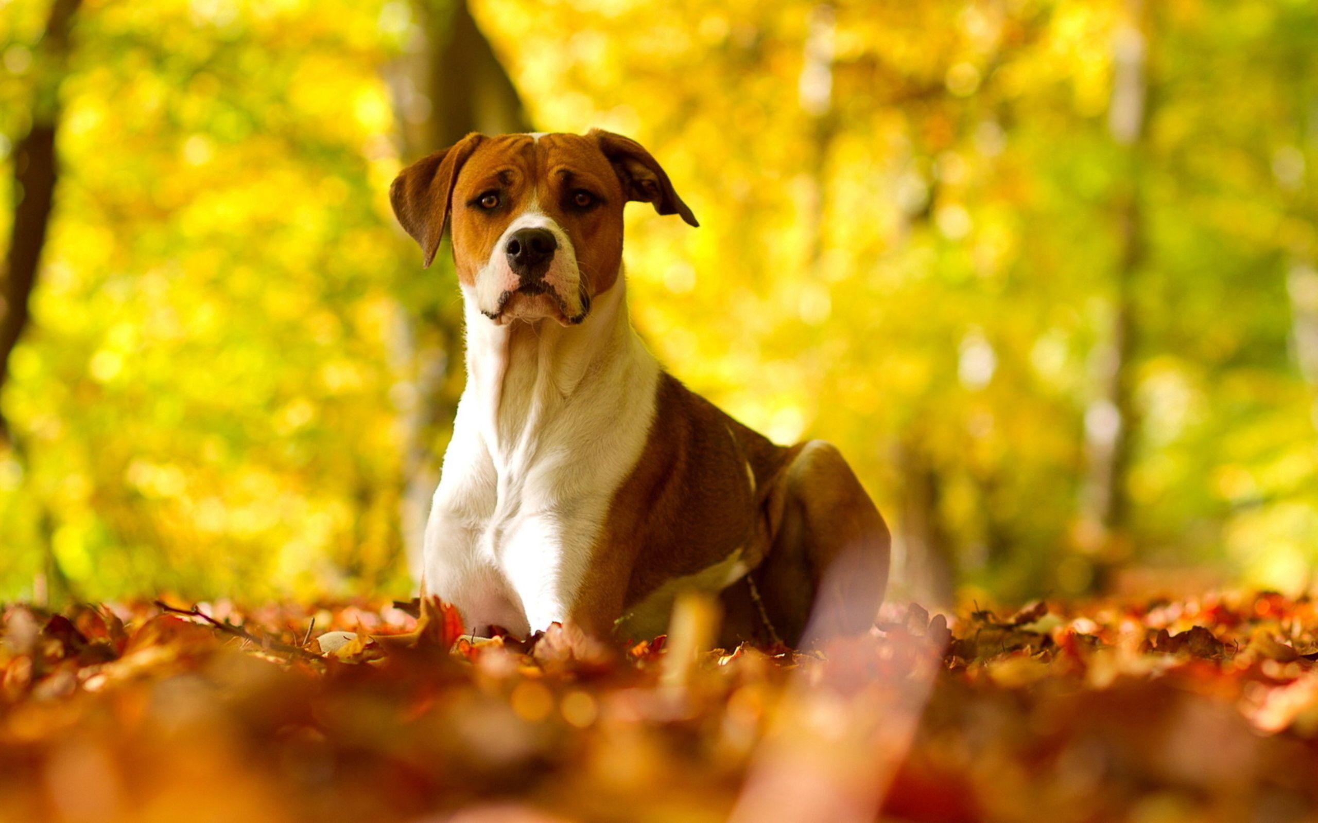 99999 скачать обои Животные, Собака, Листья, Трава, Взгляд, Осень - заставки и картинки бесплатно