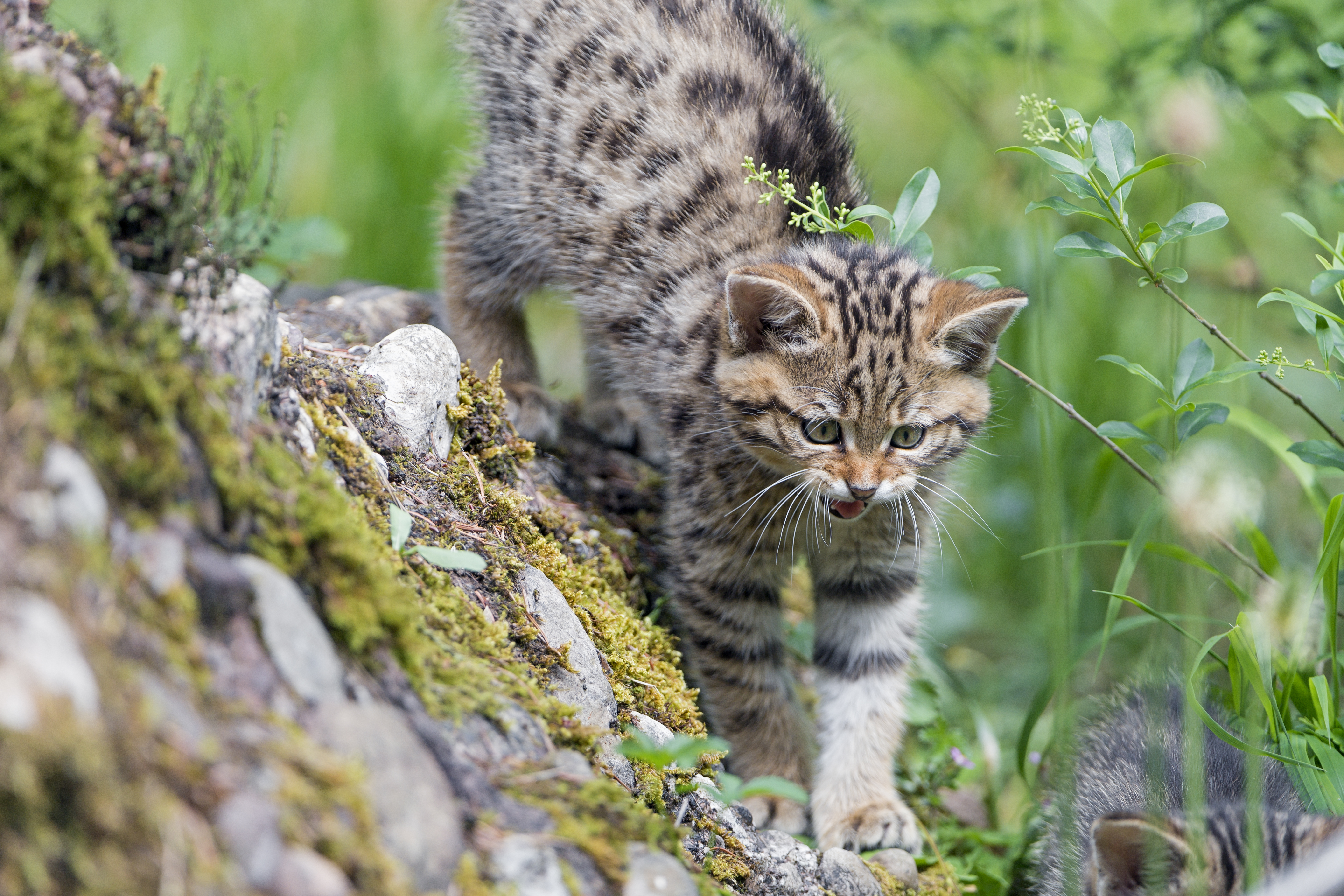 112189 Screensavers and Wallpapers Kitten for phone. Download Animals, Grass, Cat, Kitty, Kitten, Grin, Stroll, Wild Cat, Wildcat pictures for free