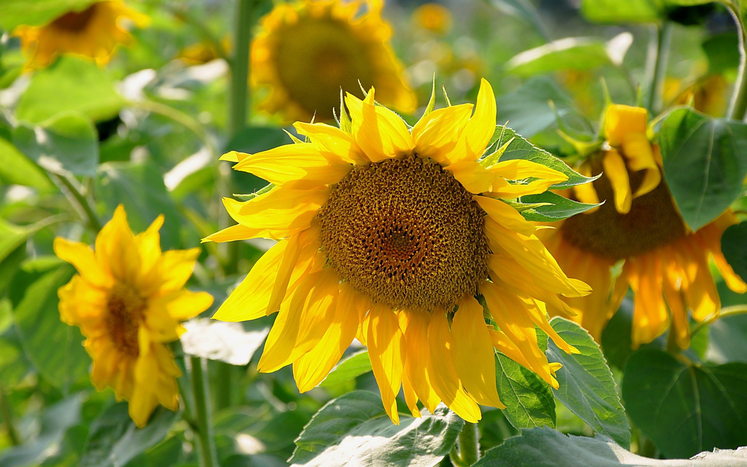 35119 descargar fondo de pantalla Plantas, Flores, Girasoles: protectores de pantalla e imágenes gratis