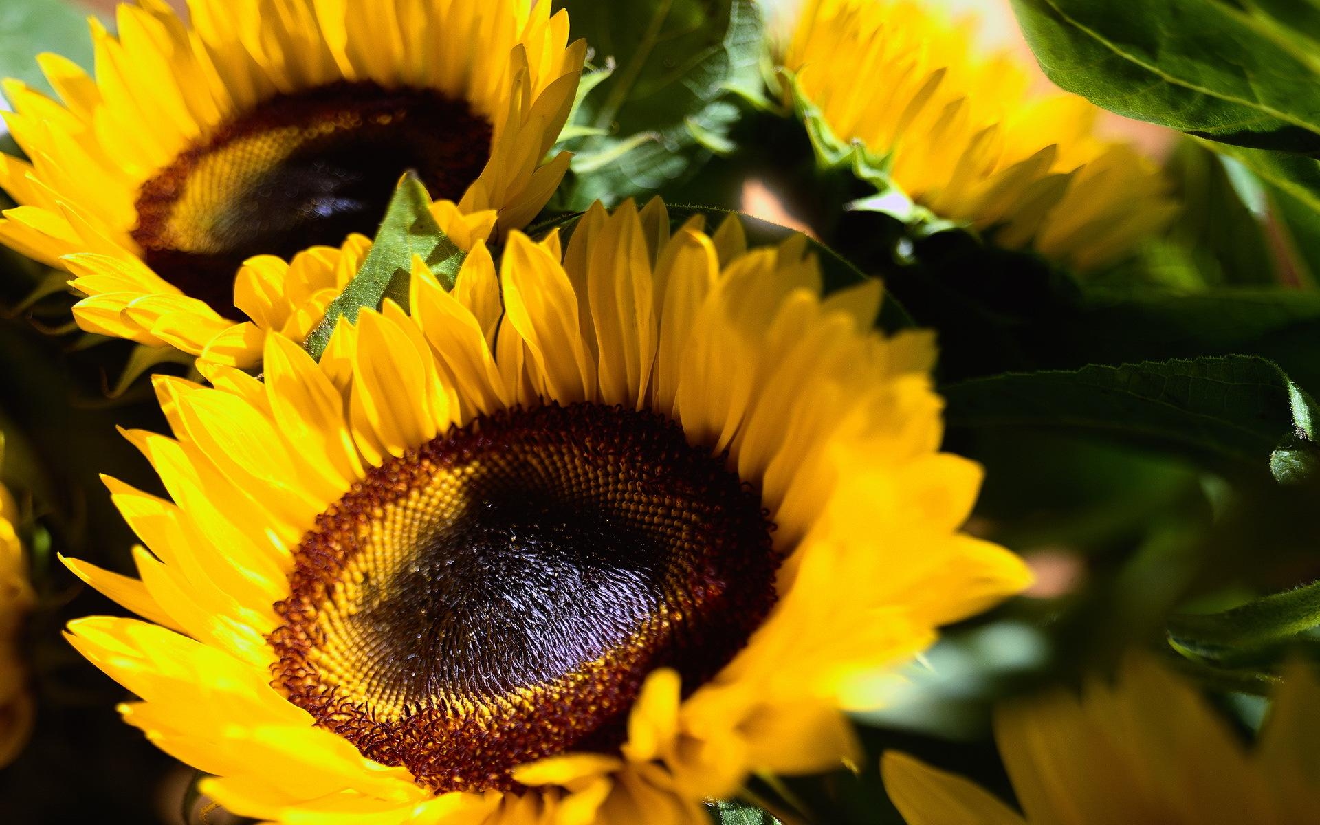 29334 免費下載壁紙 植物, 花卉, 向日葵 屏保和圖片