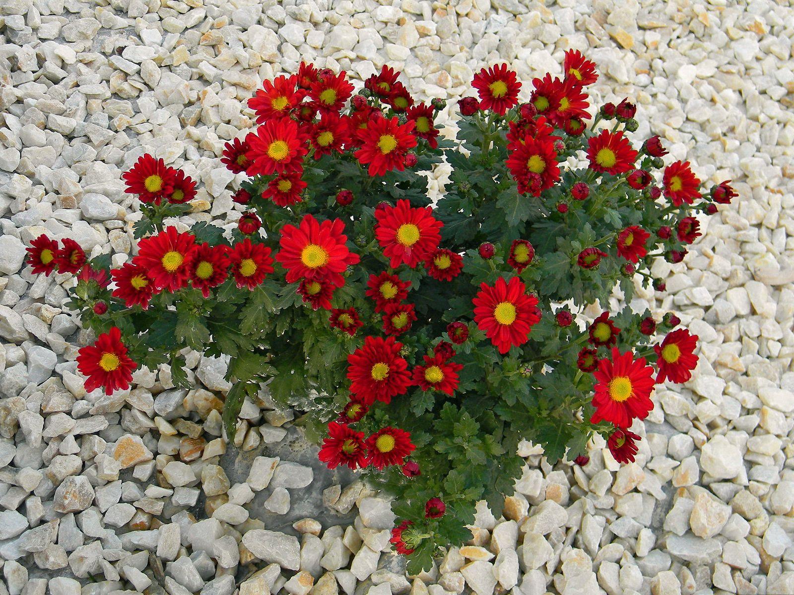 106740 скачать обои Цветы, Камни, Хризантемы - заставки и картинки бесплатно