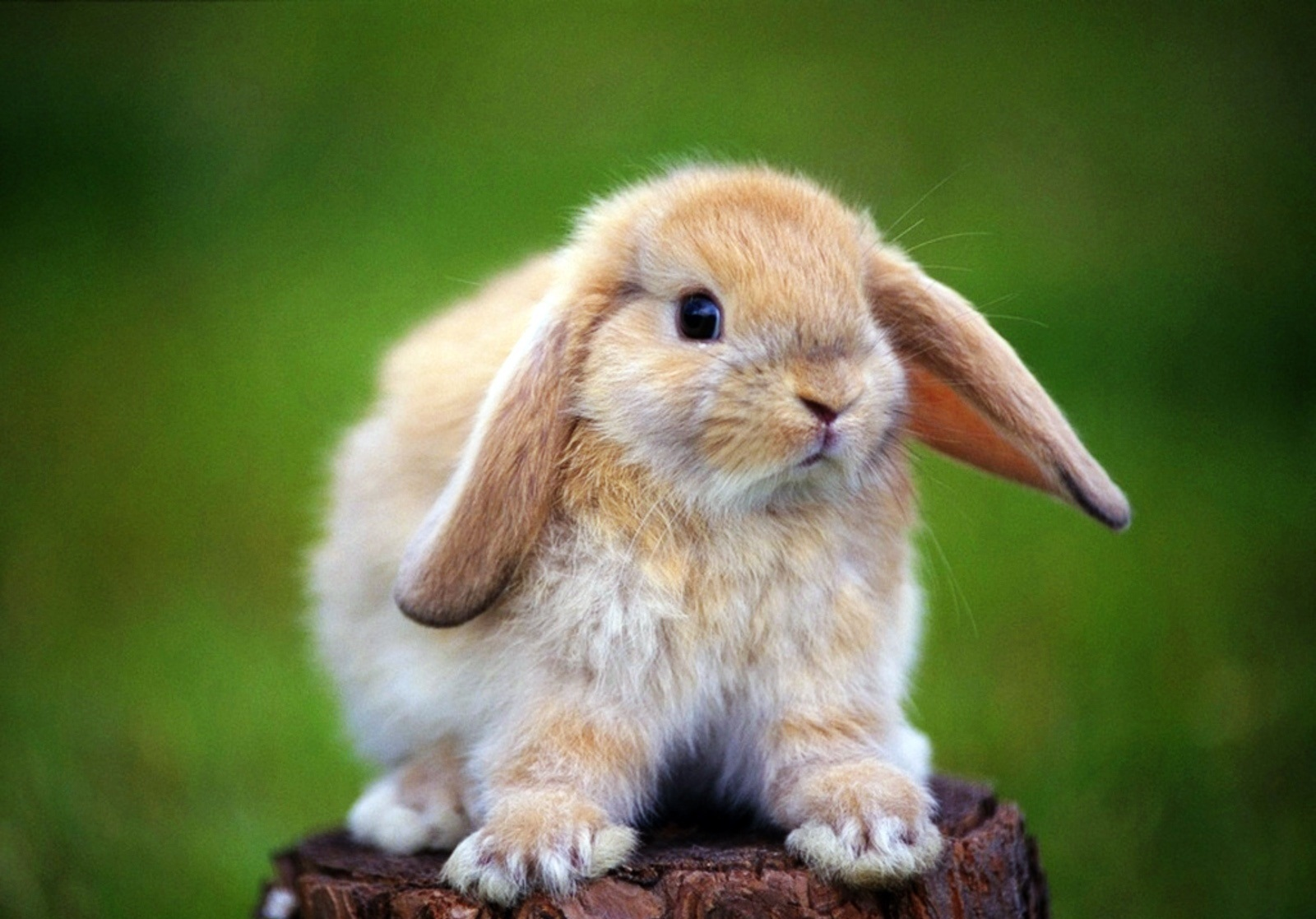 22967 download wallpaper Animals, Rabbits screensavers and pictures for free