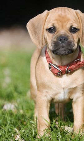 151045 download wallpaper Animals, Puppy, Grass, Collar screensavers and pictures for free